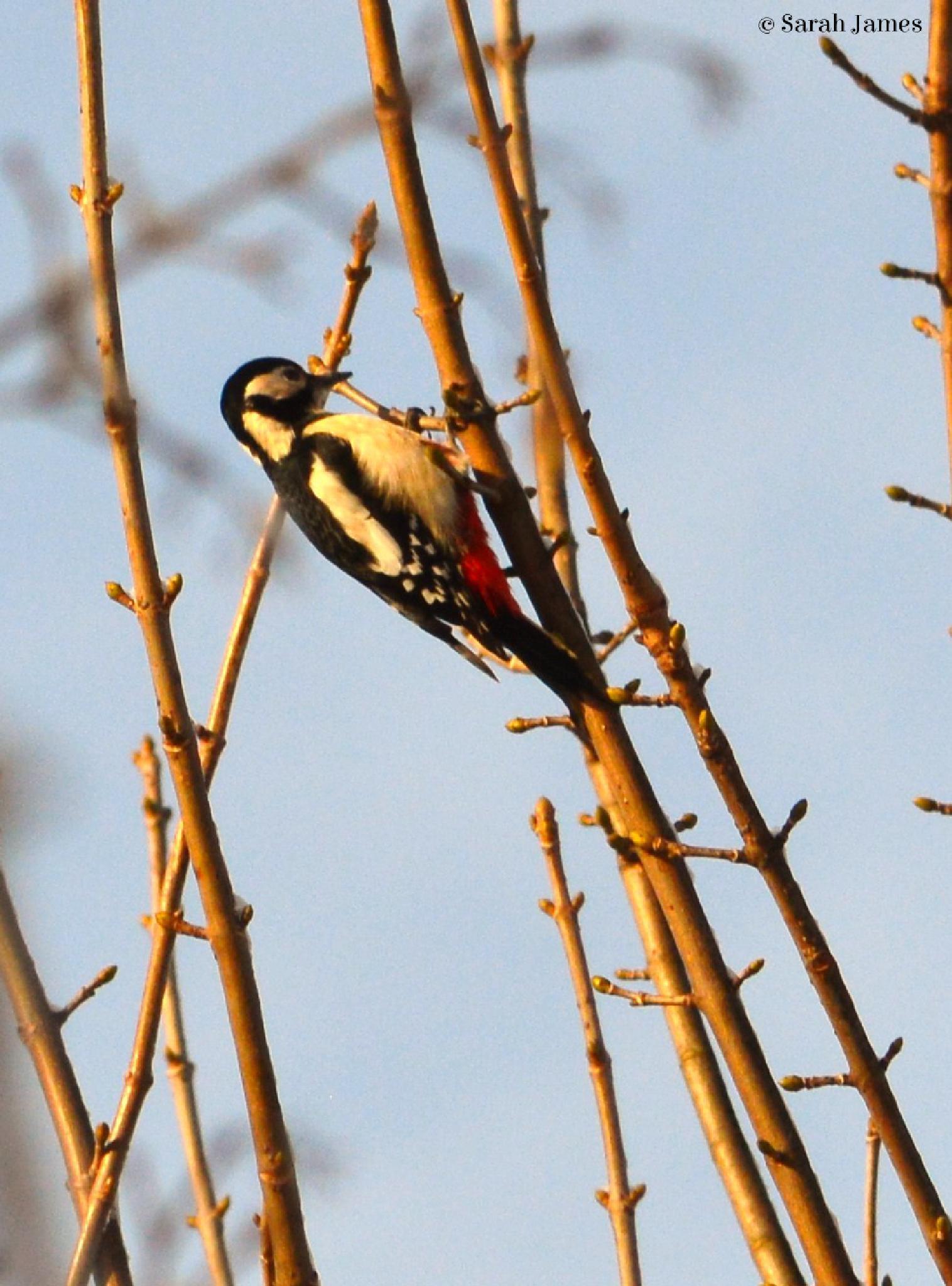 Woodpecker 2 by Sarah James