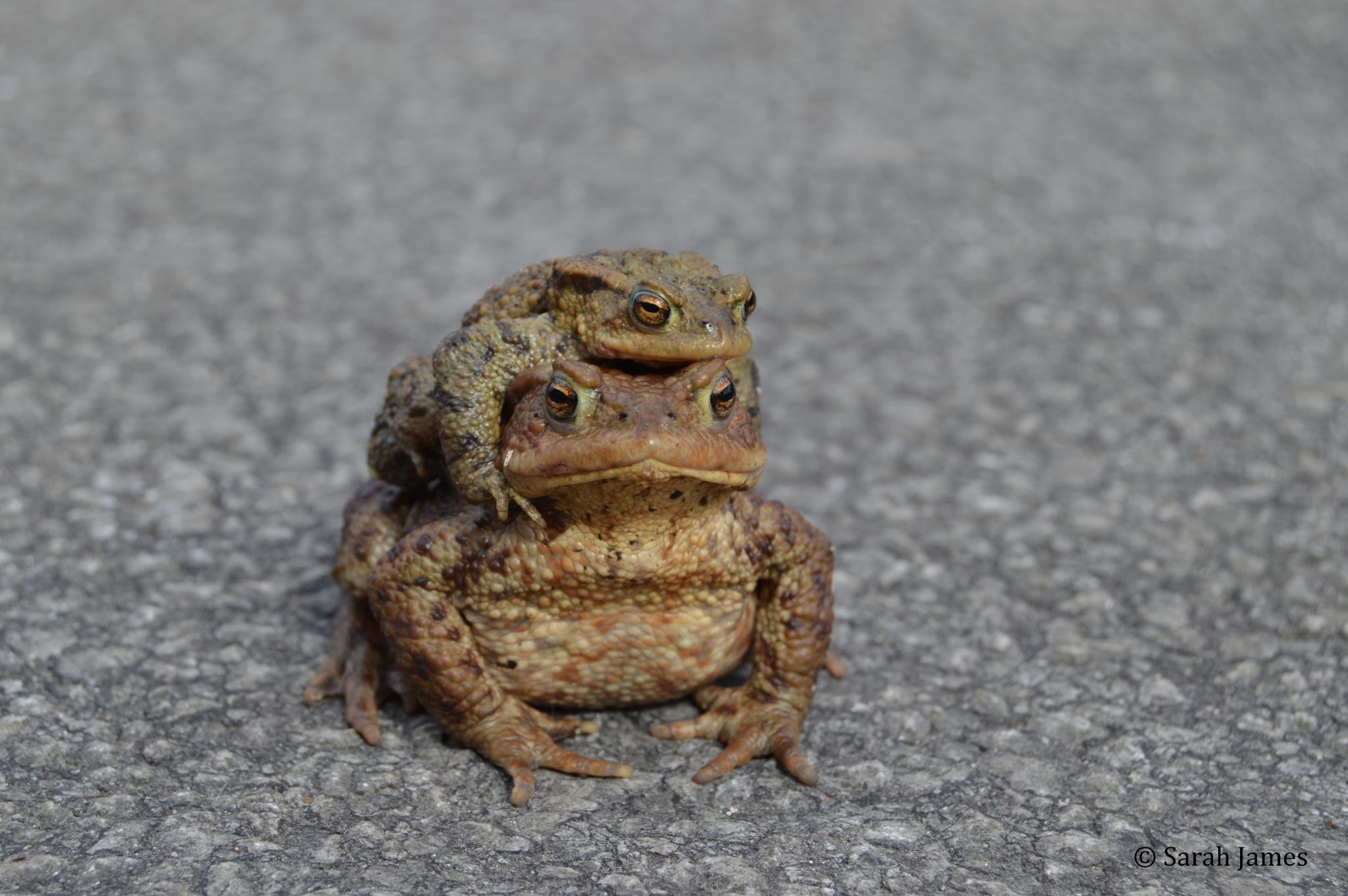 Toads by Sarah James