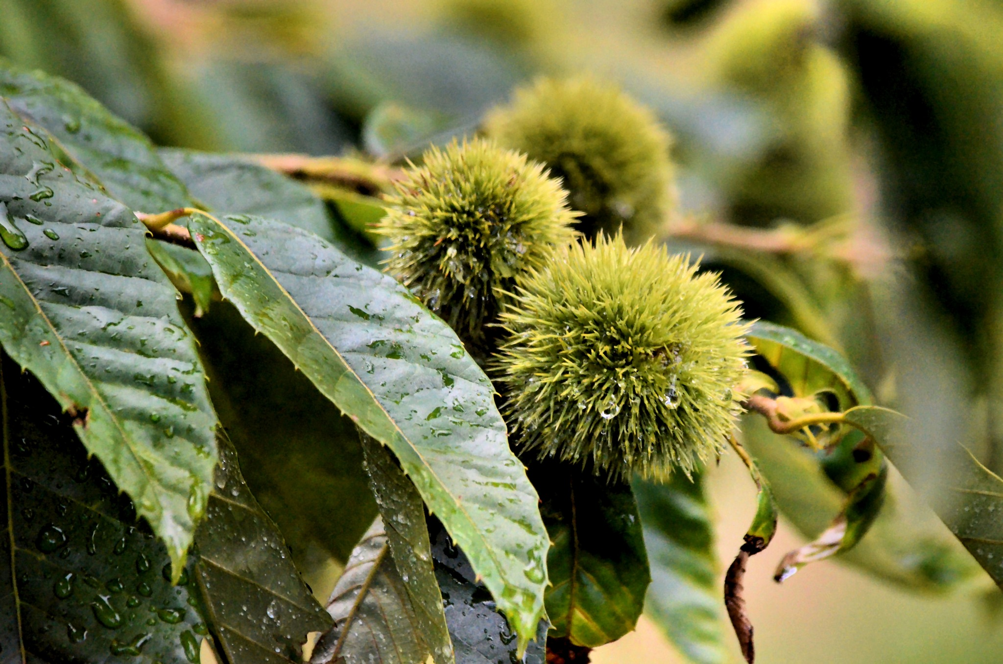 Chestnuts in the Rain by JimFleenor