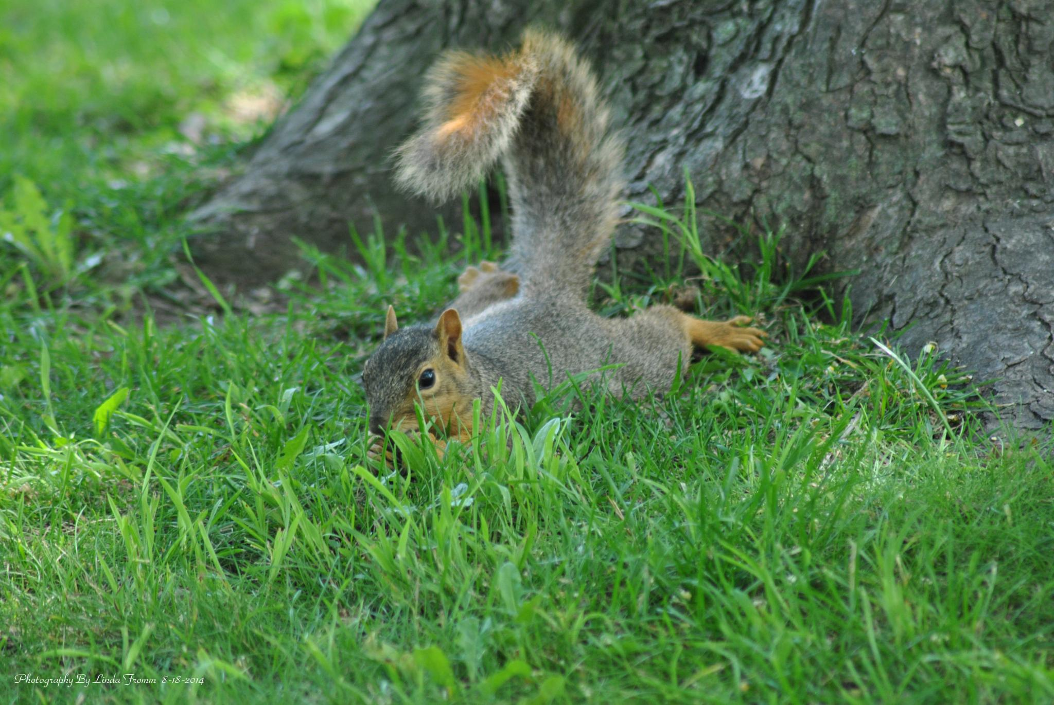 Lazy Squirrel In My Front Yard by Linda Gifford