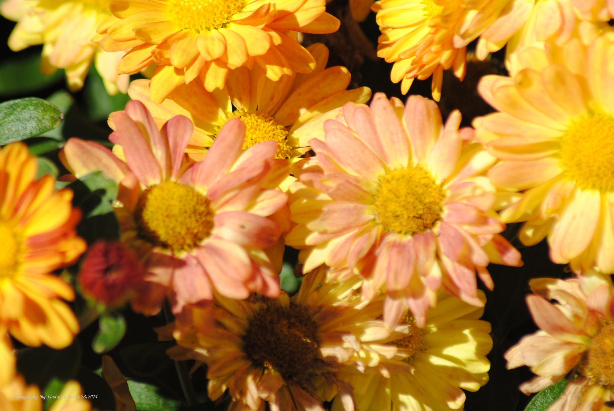 Columbiana asters by Linda Gifford