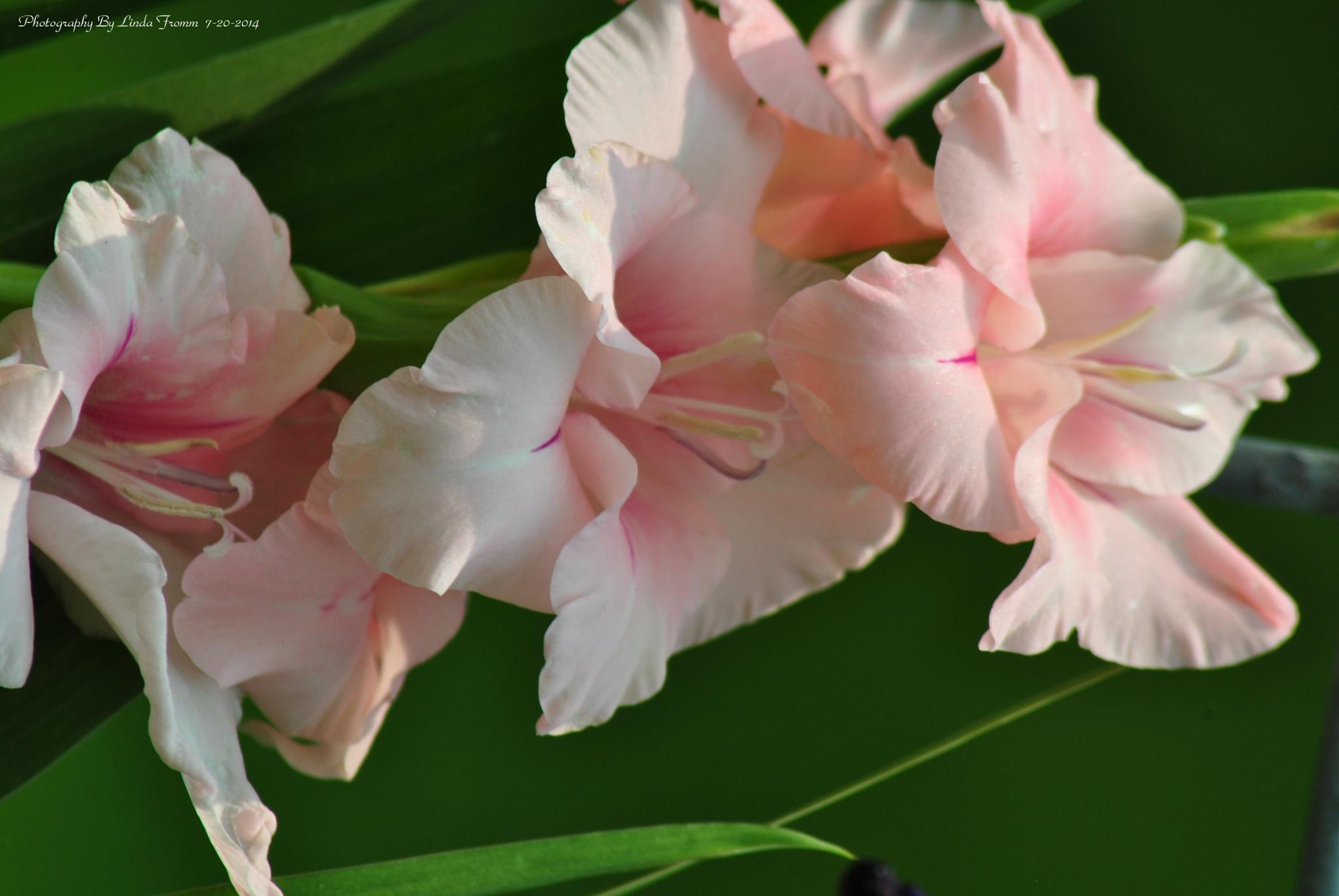 Gladiolus by Linda Gifford