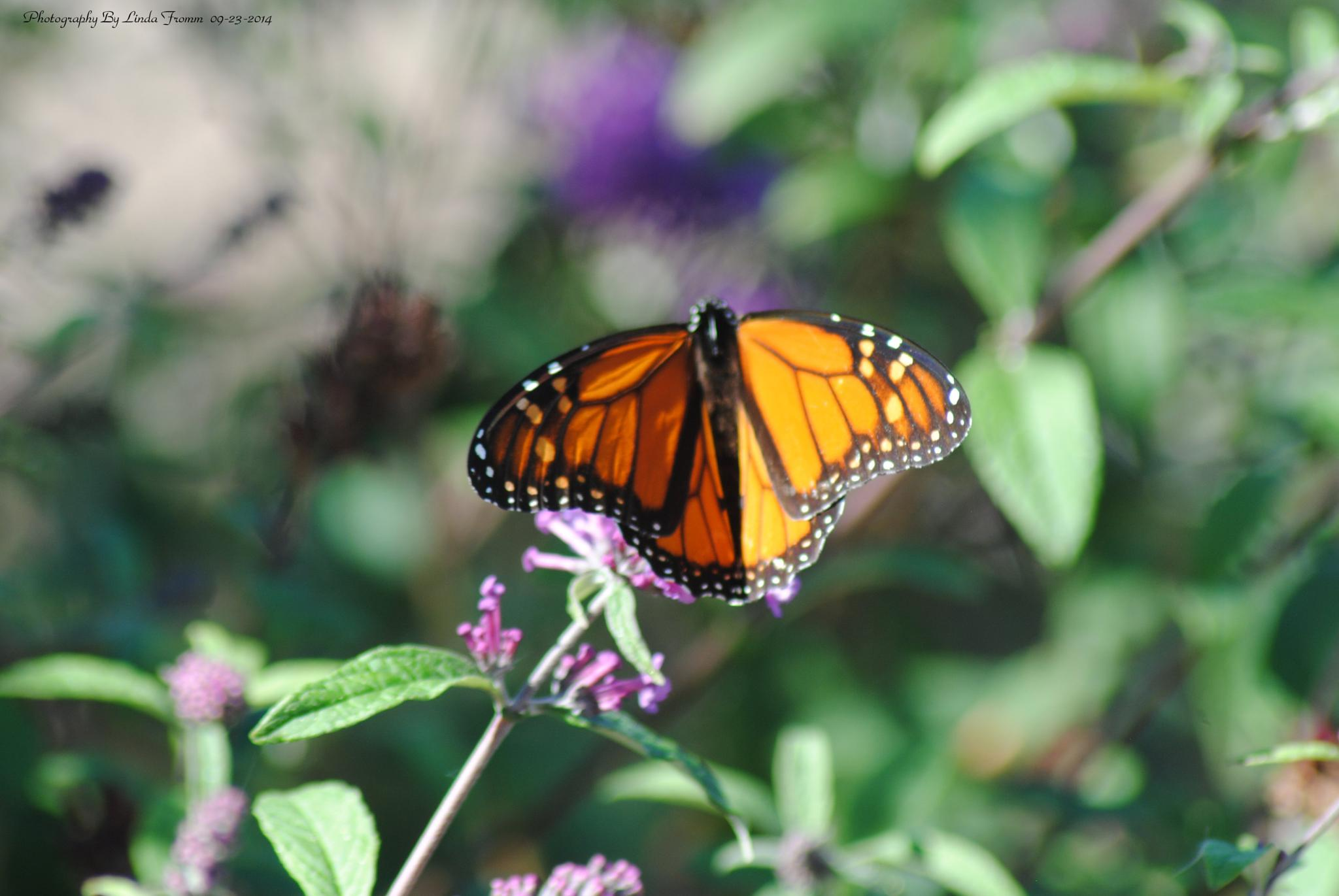 Butterfly by Linda Gifford