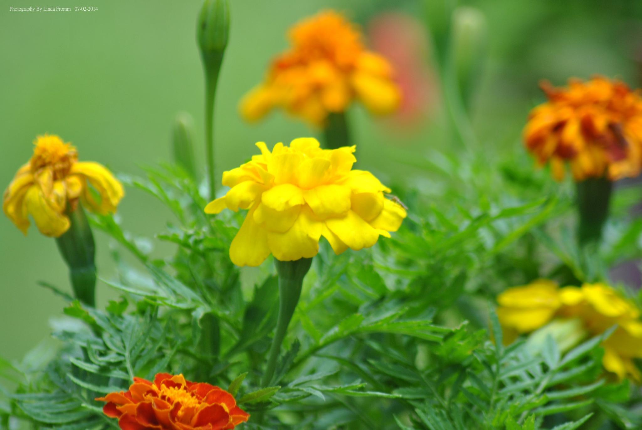 Marigolds by Linda Gifford