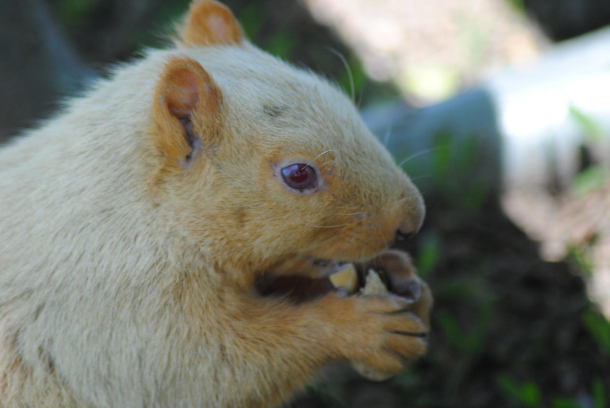 Albino Squirrel by Linda Gifford