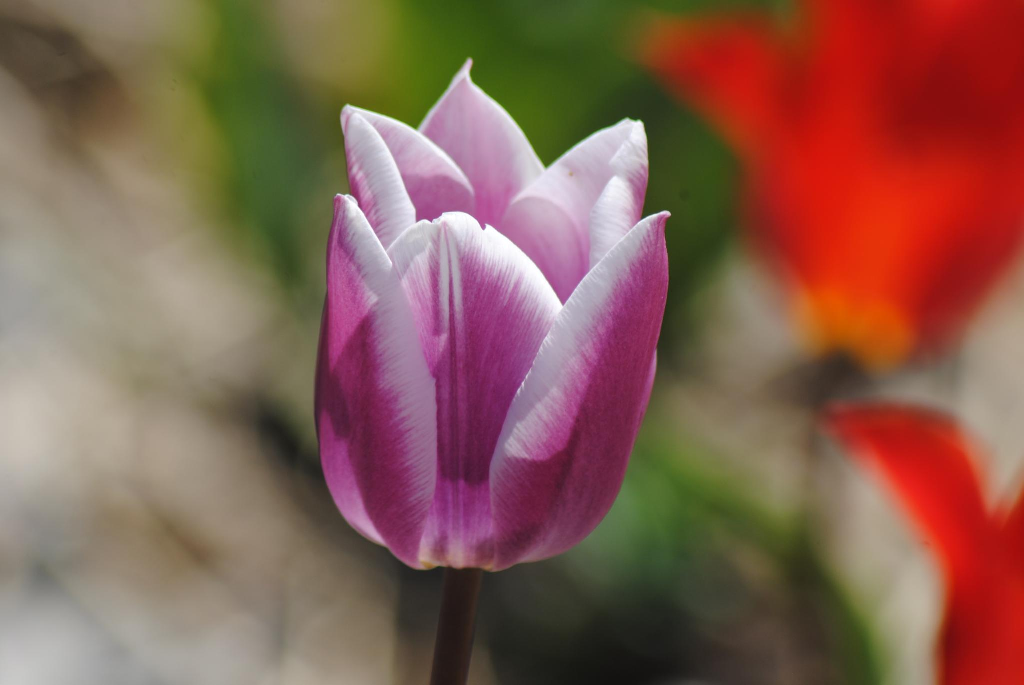 Purple Tulip by Linda Gifford