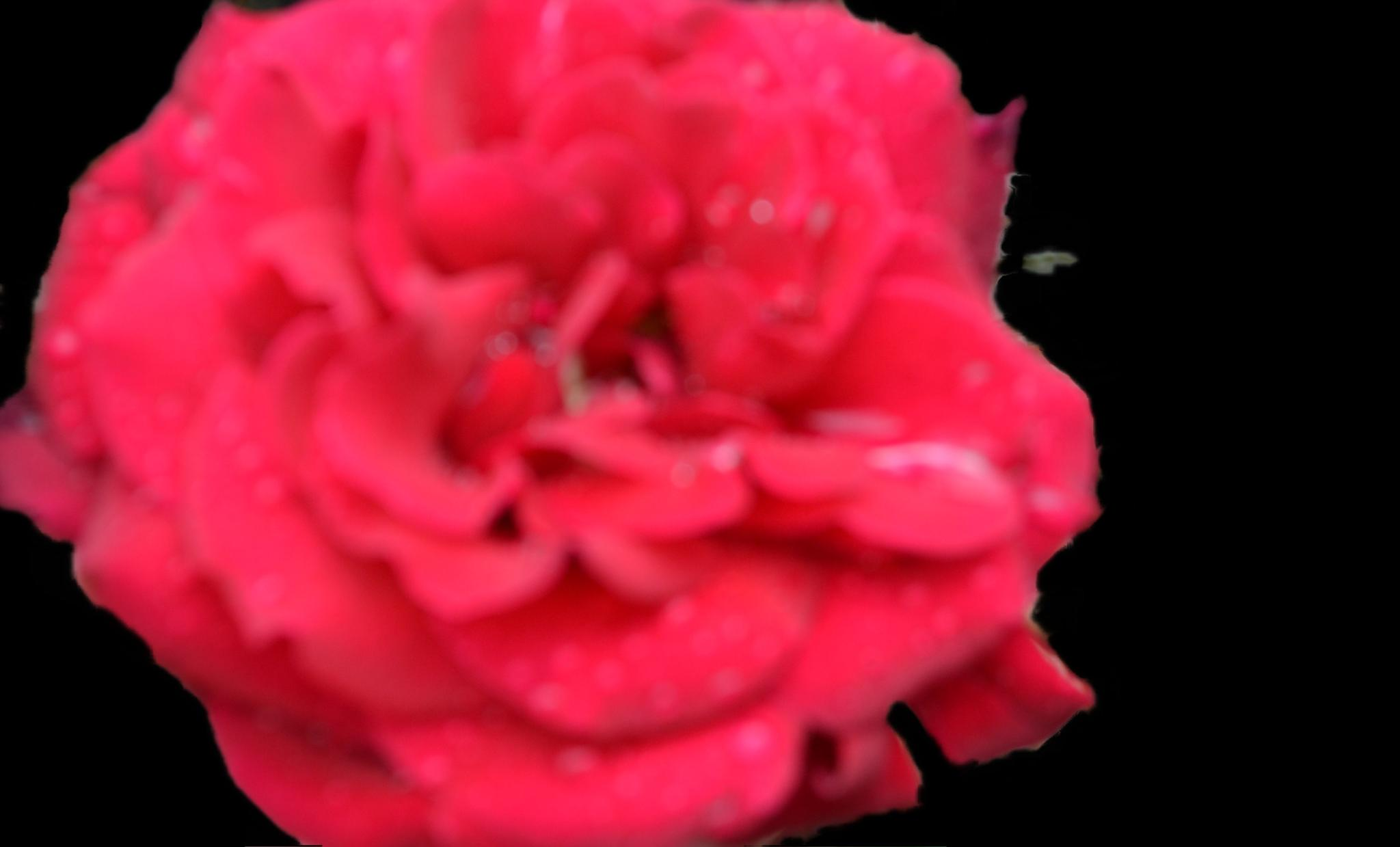Red Rose Black Background by lindandarrell