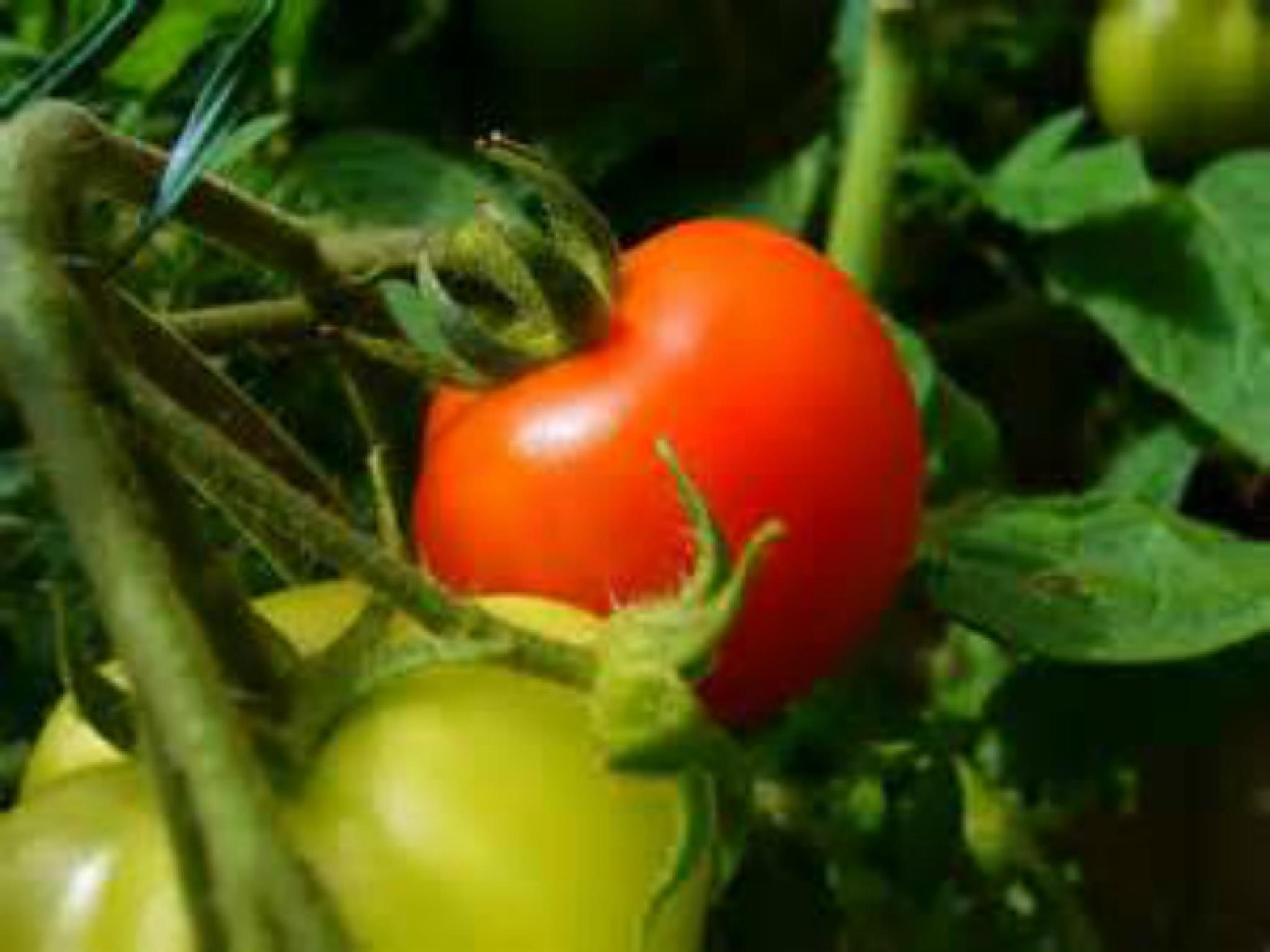 Baby tomato by lindandarrell