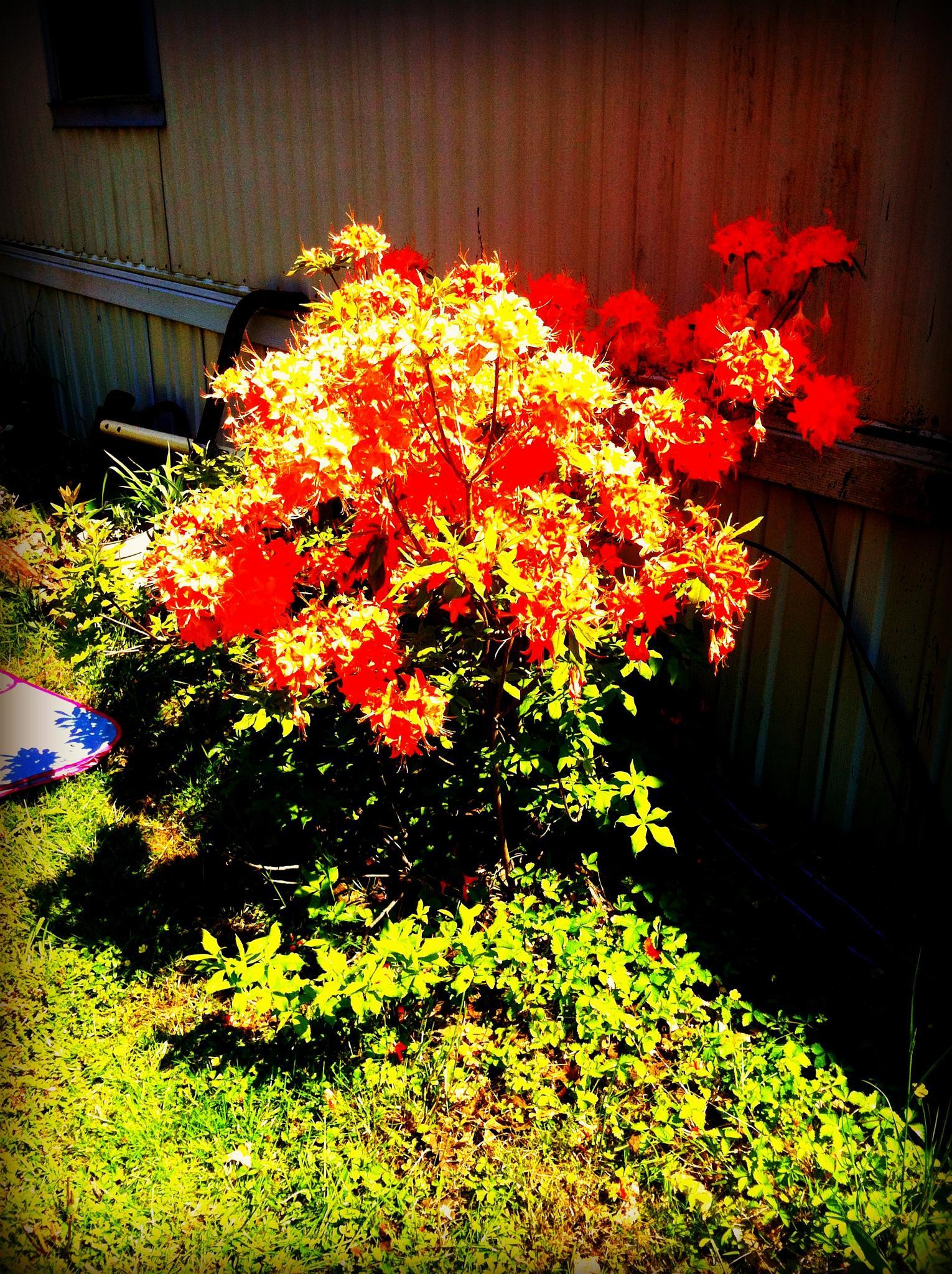 Honetsuckle Bush by lindandarrell