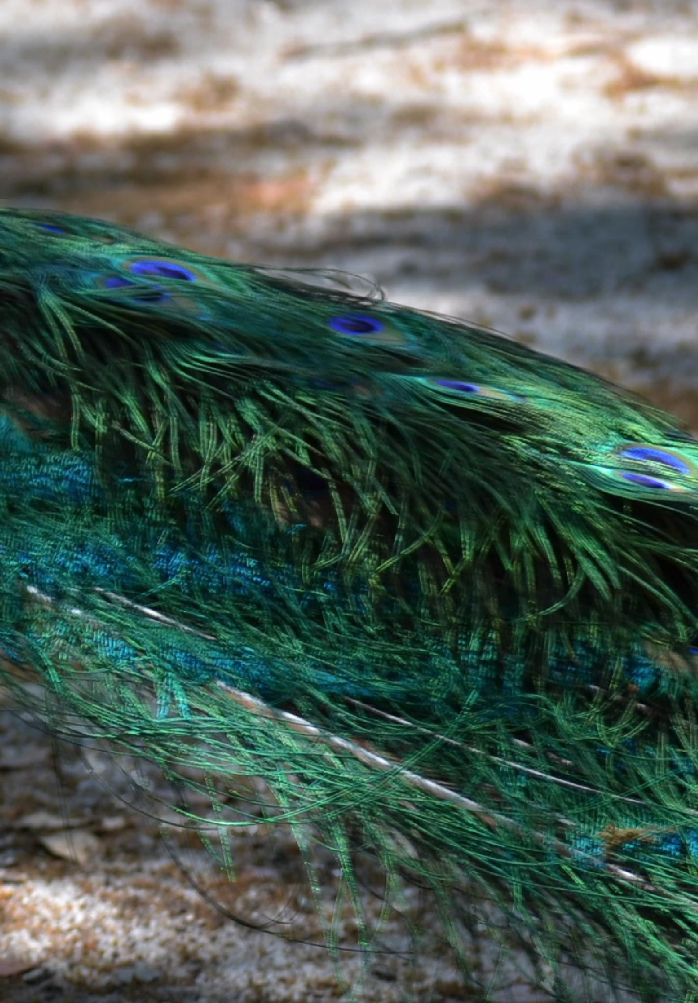 Peacock's Tail by lindandarrell