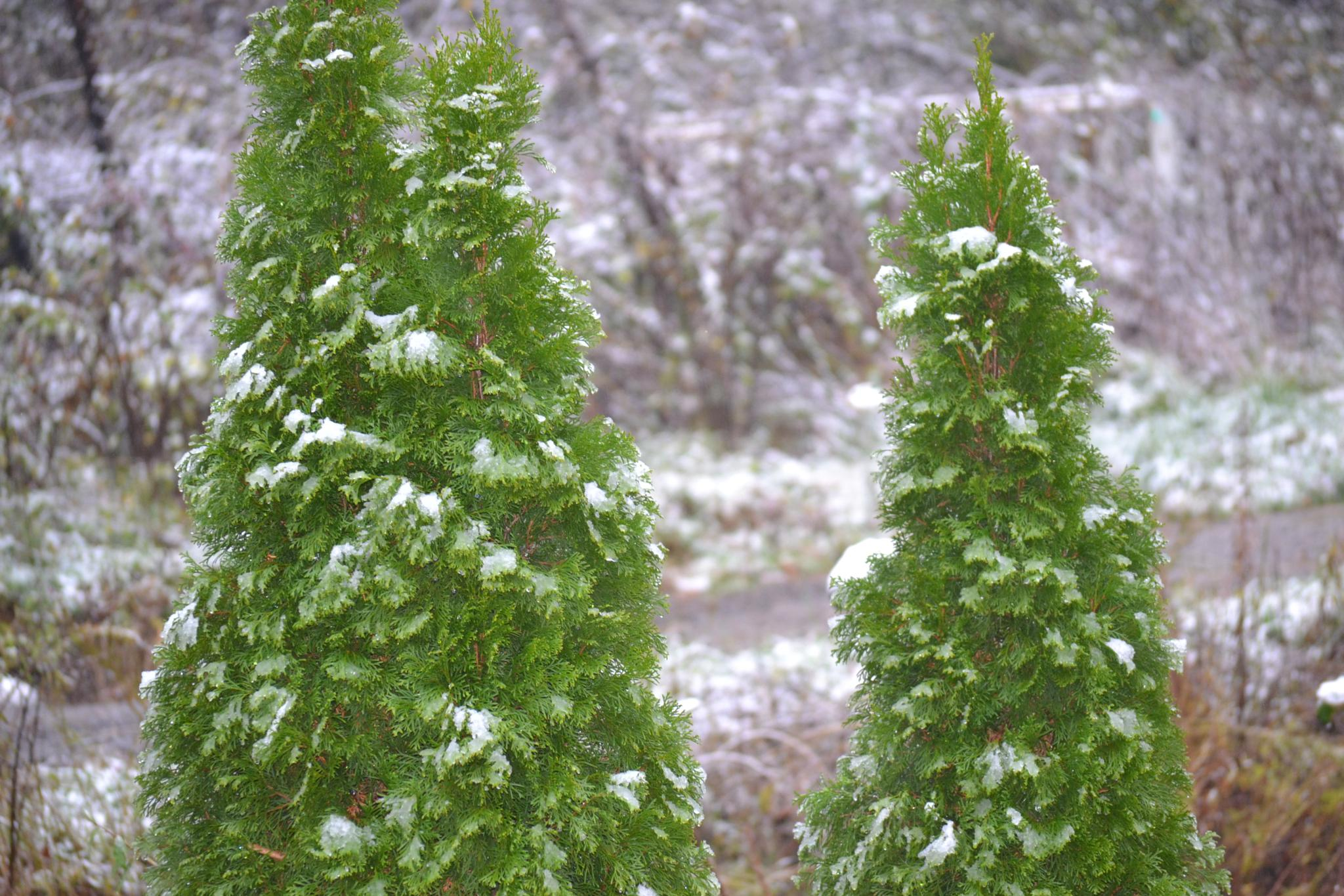 Snowy Pines by lindandarrell