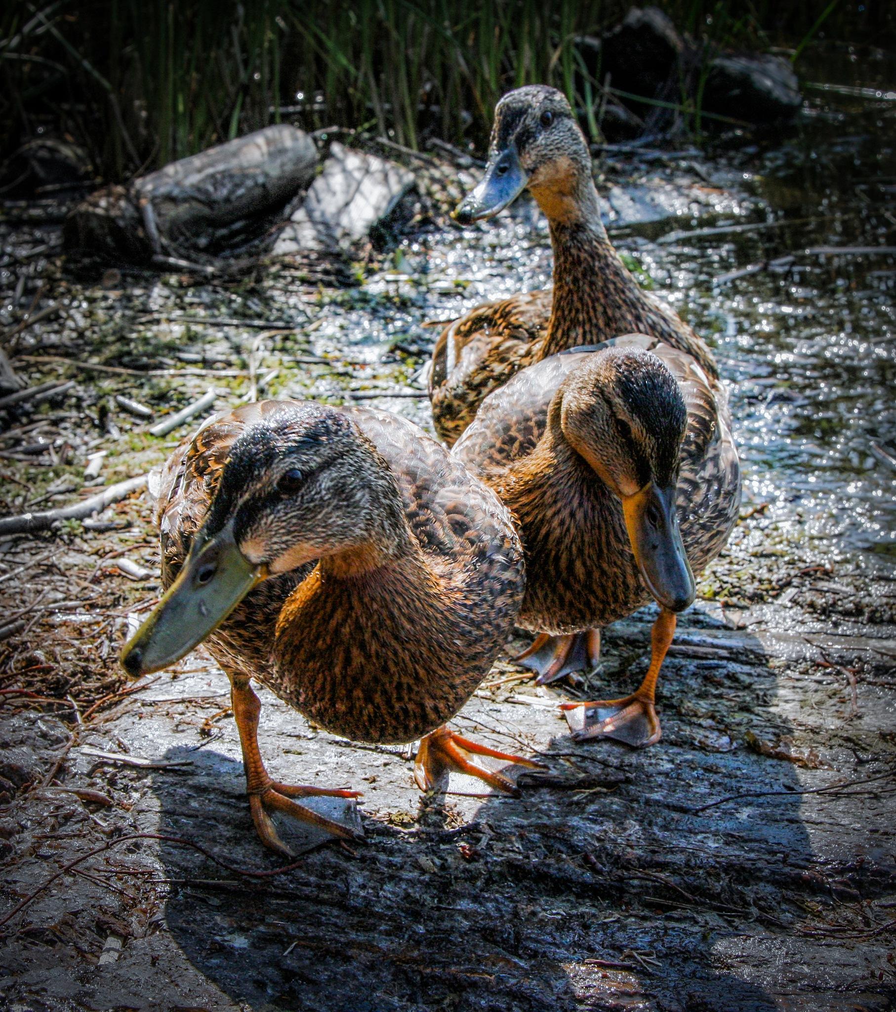 Ducks by Mattias Carlsson