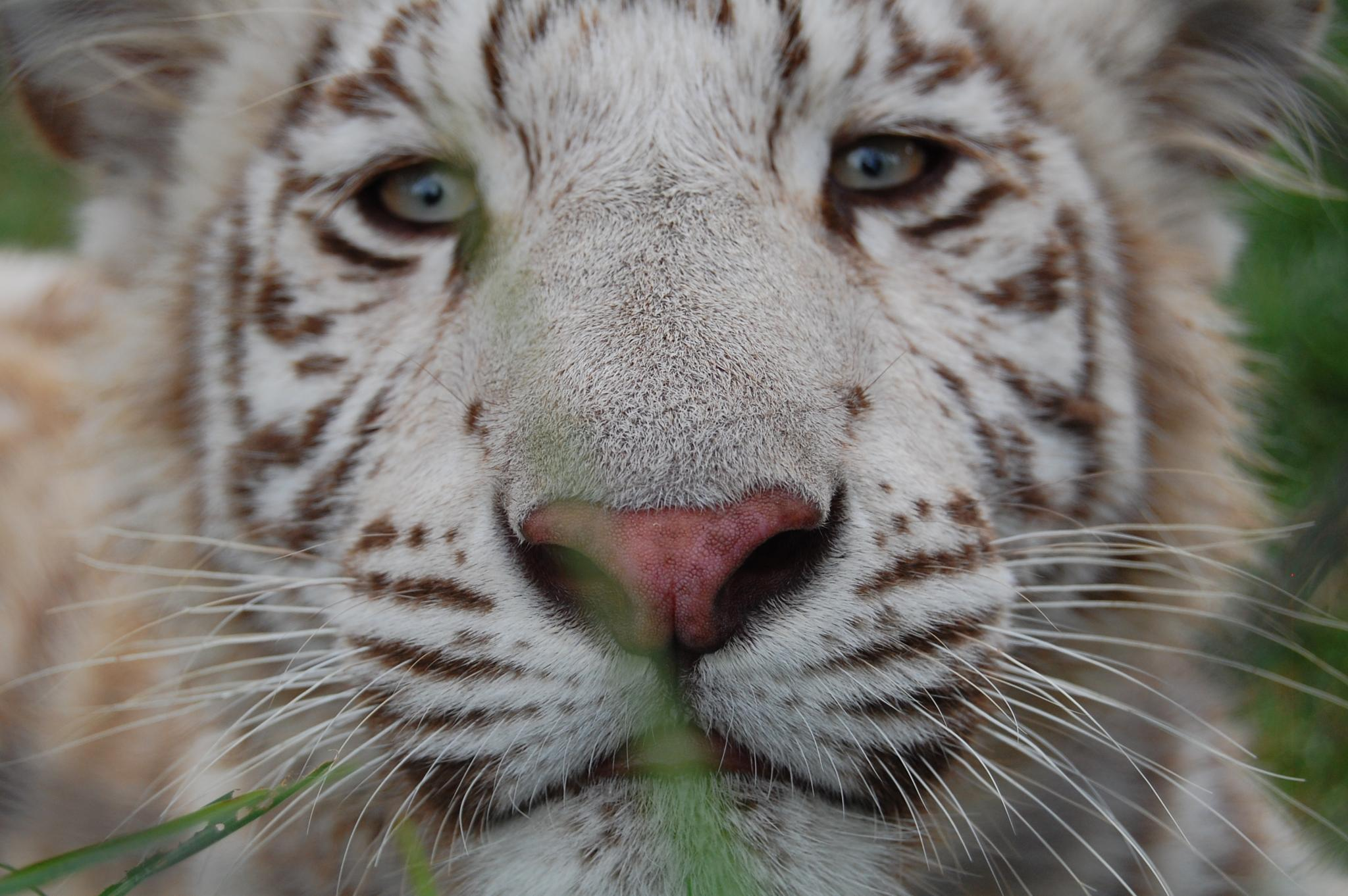 Close-up baby tiger by surfjessie