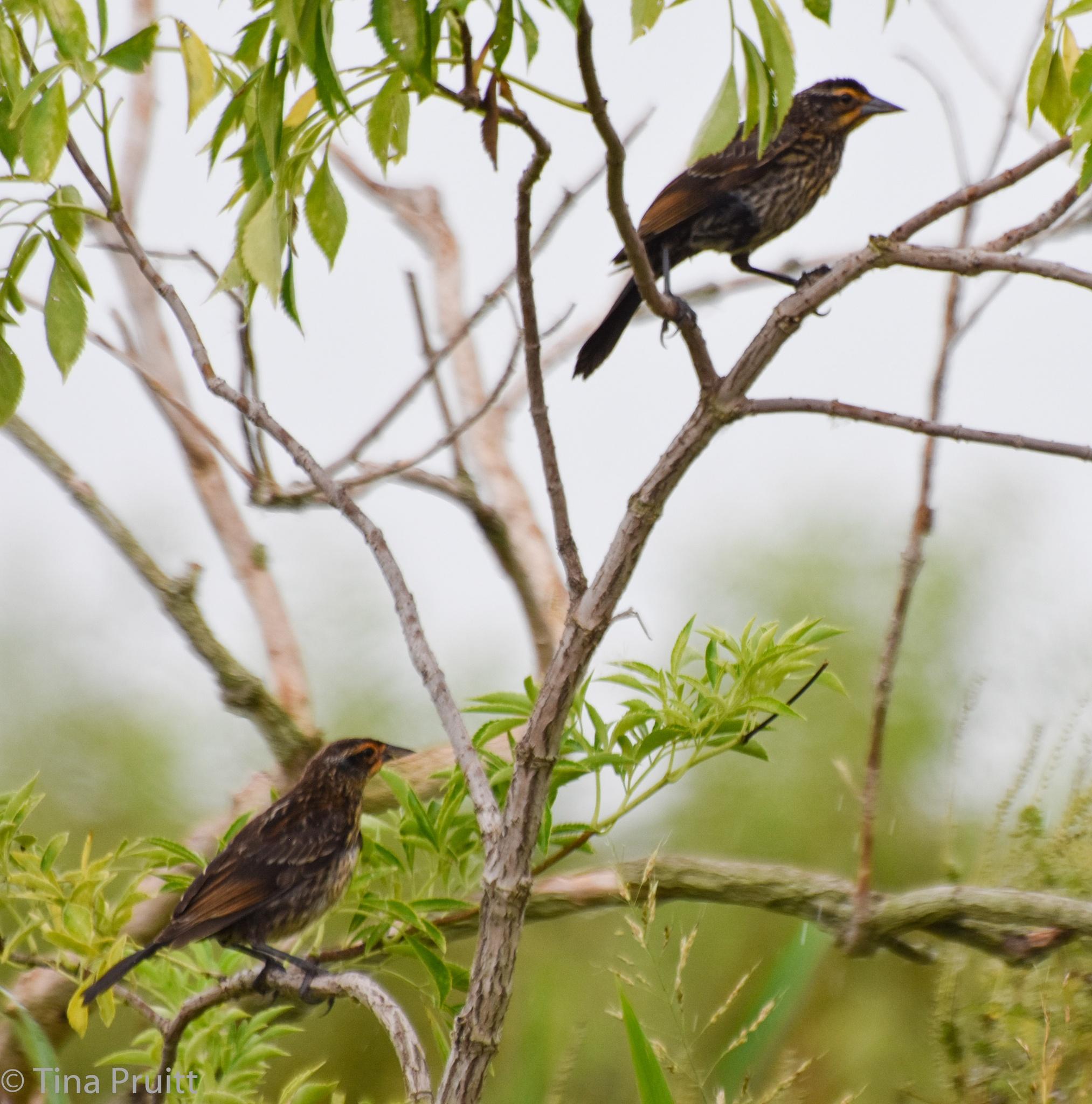 Barn Swallows by khristyp