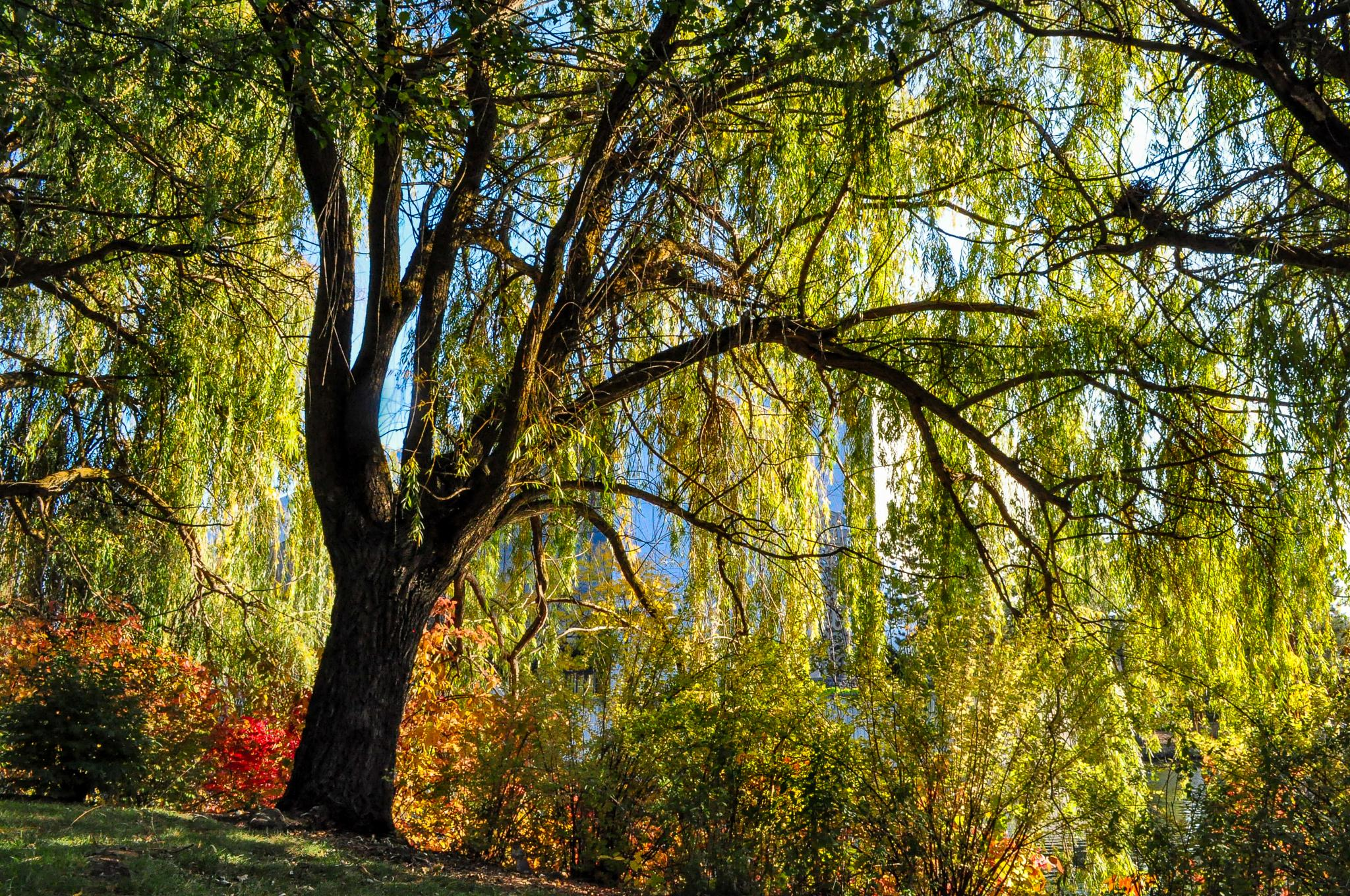 Autumn Willow by mark.a.ament
