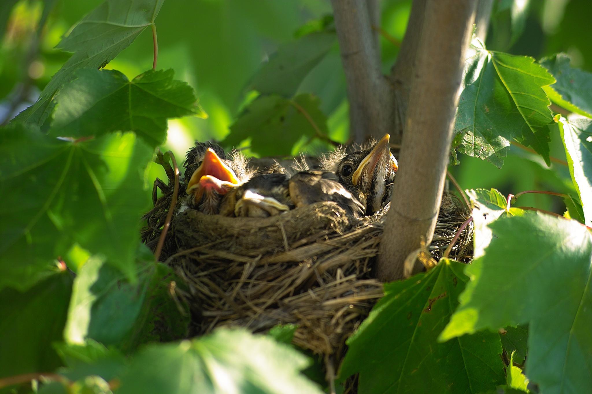 Baby Robins by munacra