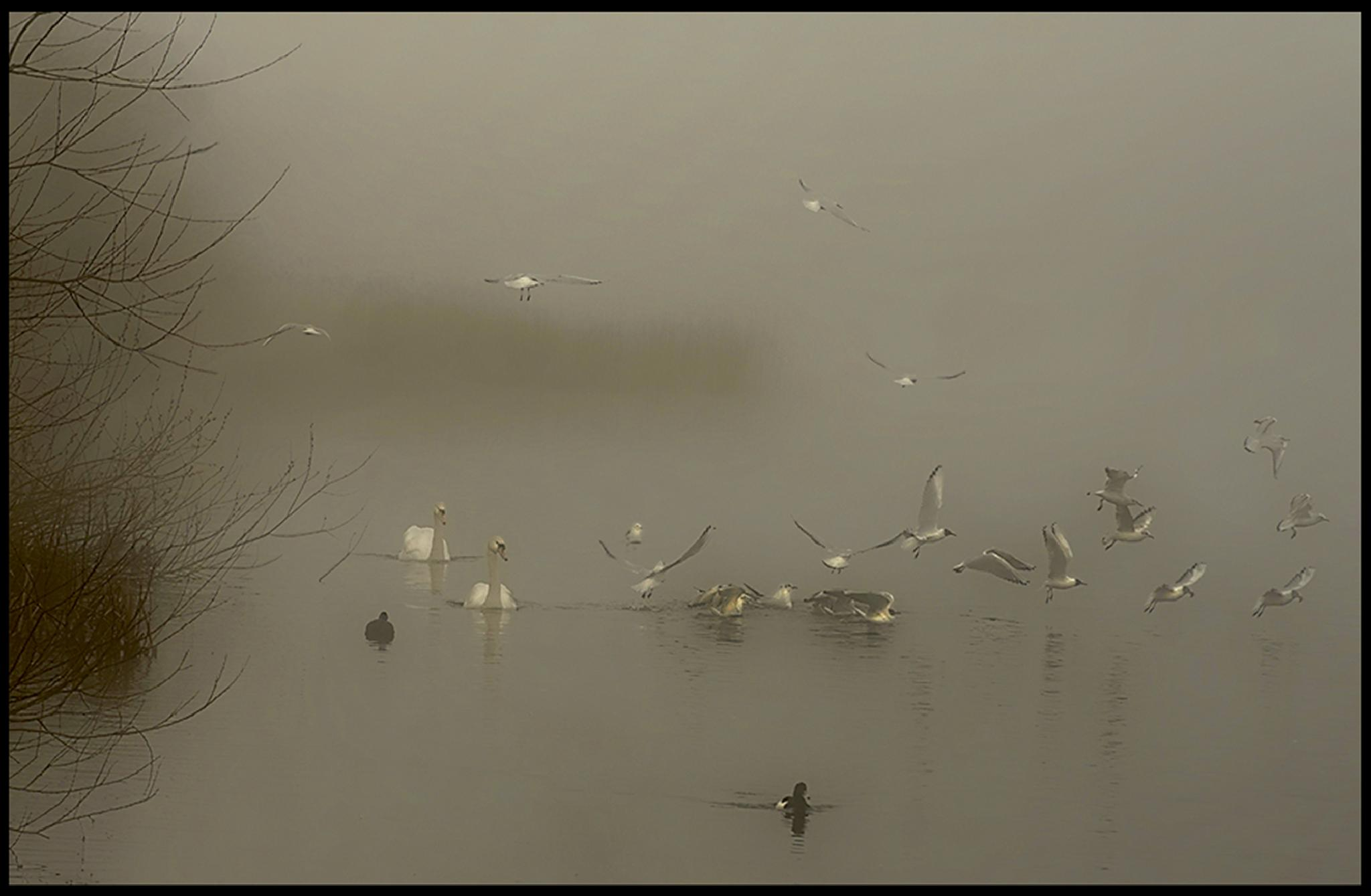 swans in the fog by angela.taylor.142035