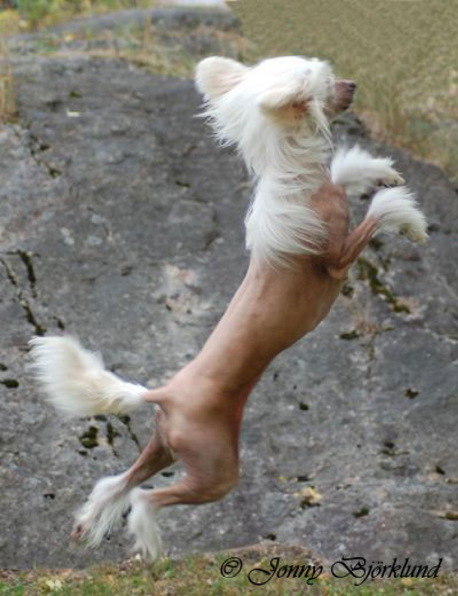 Photo in Animal #chinese crested dog