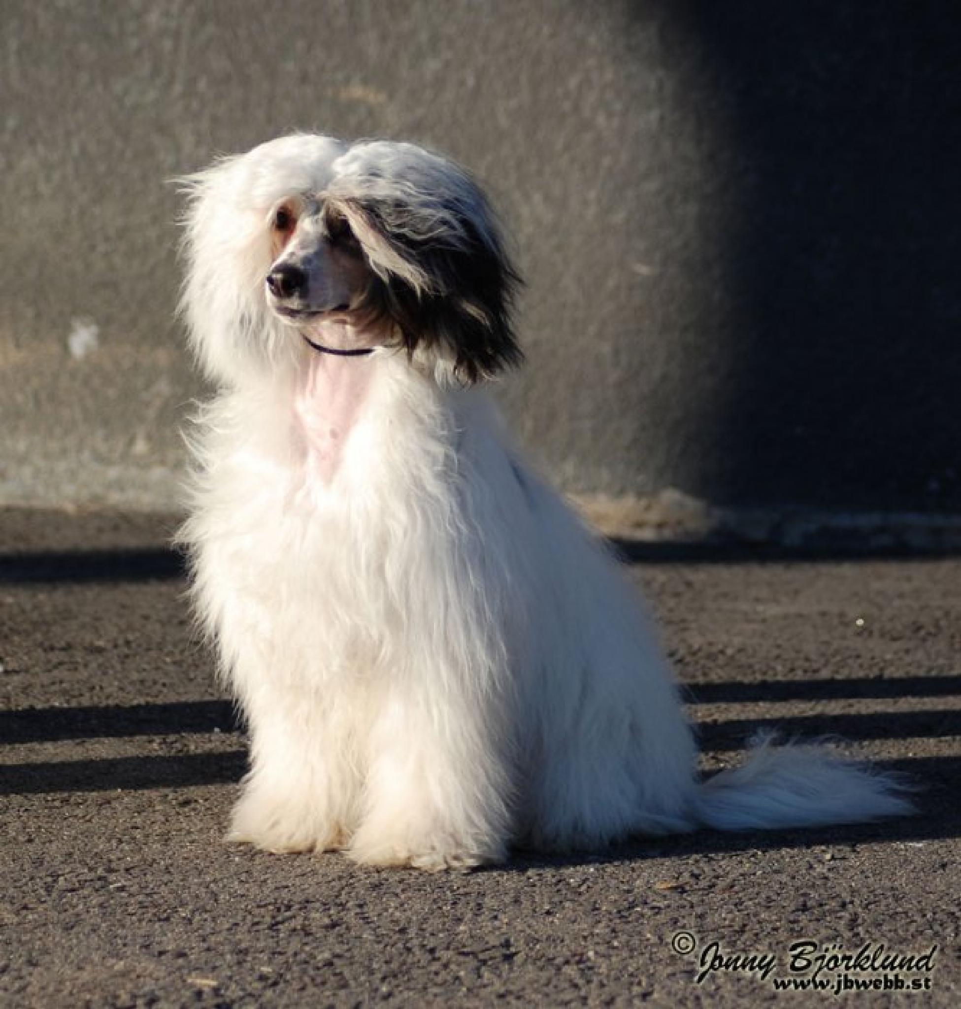 Chinese Crested Dog PowderPuff by Jonny Björklund