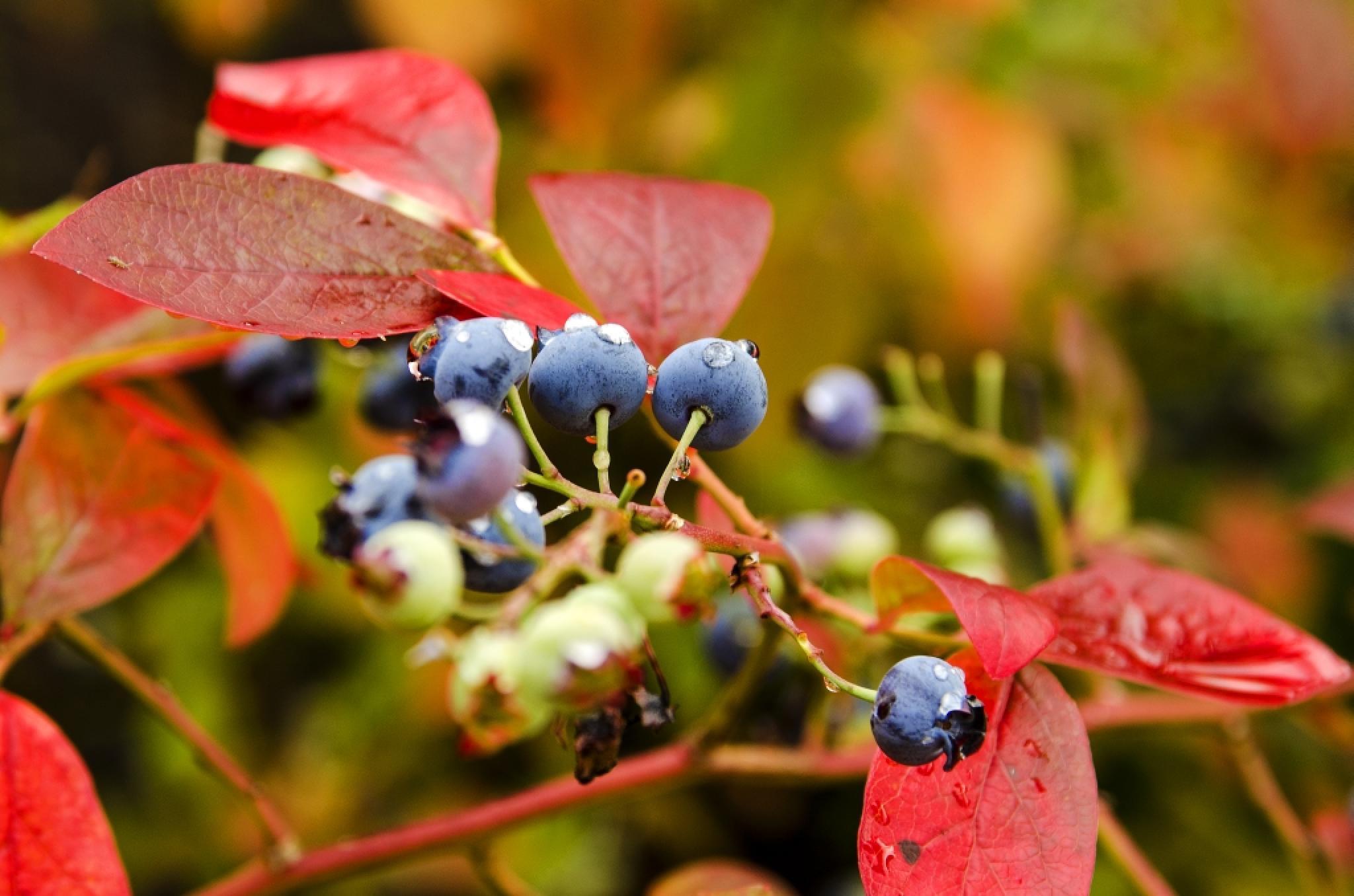Blueberries by Iam Burn
