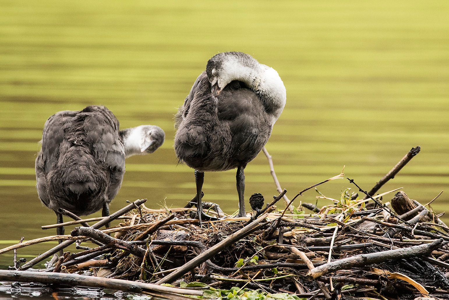 Young Coots by Iam Burn