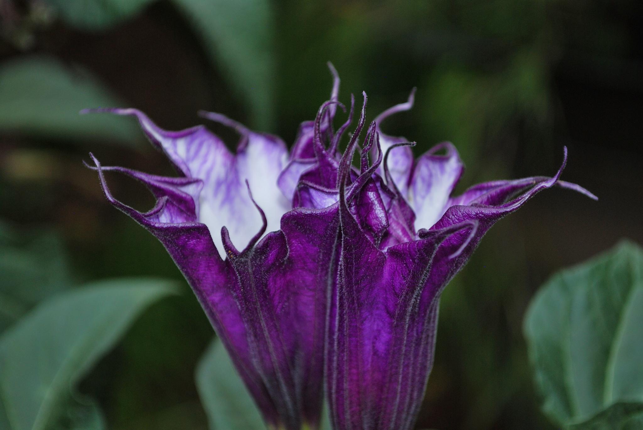 Purple Flower by gjacobsdwh