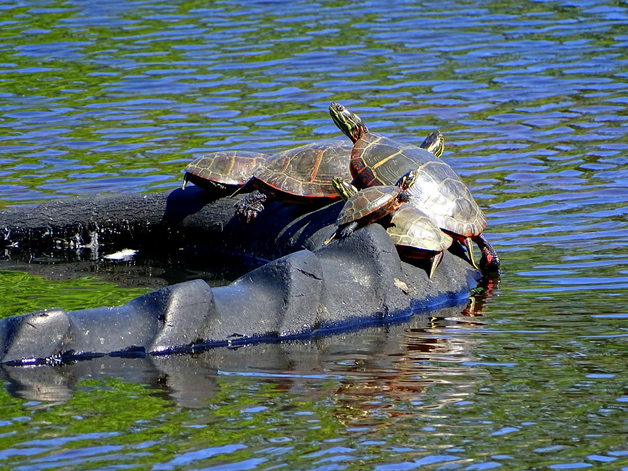 Painted Turtles Sunning on a Tire by paulette.king