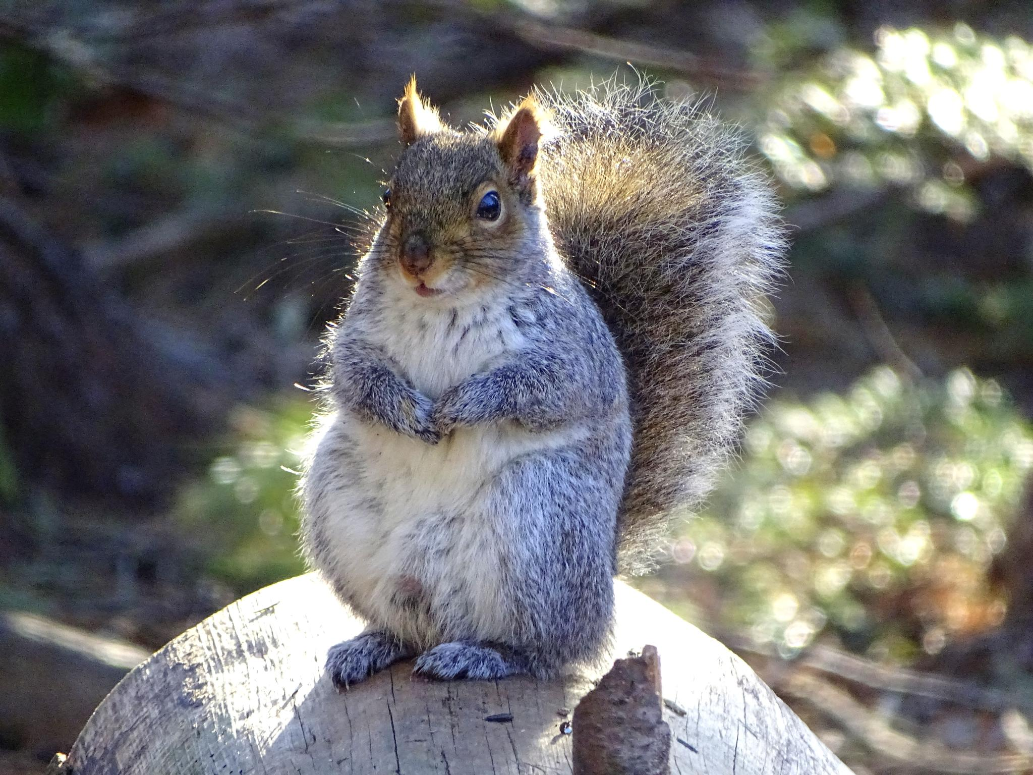 Gray Squirrel by paulette.king