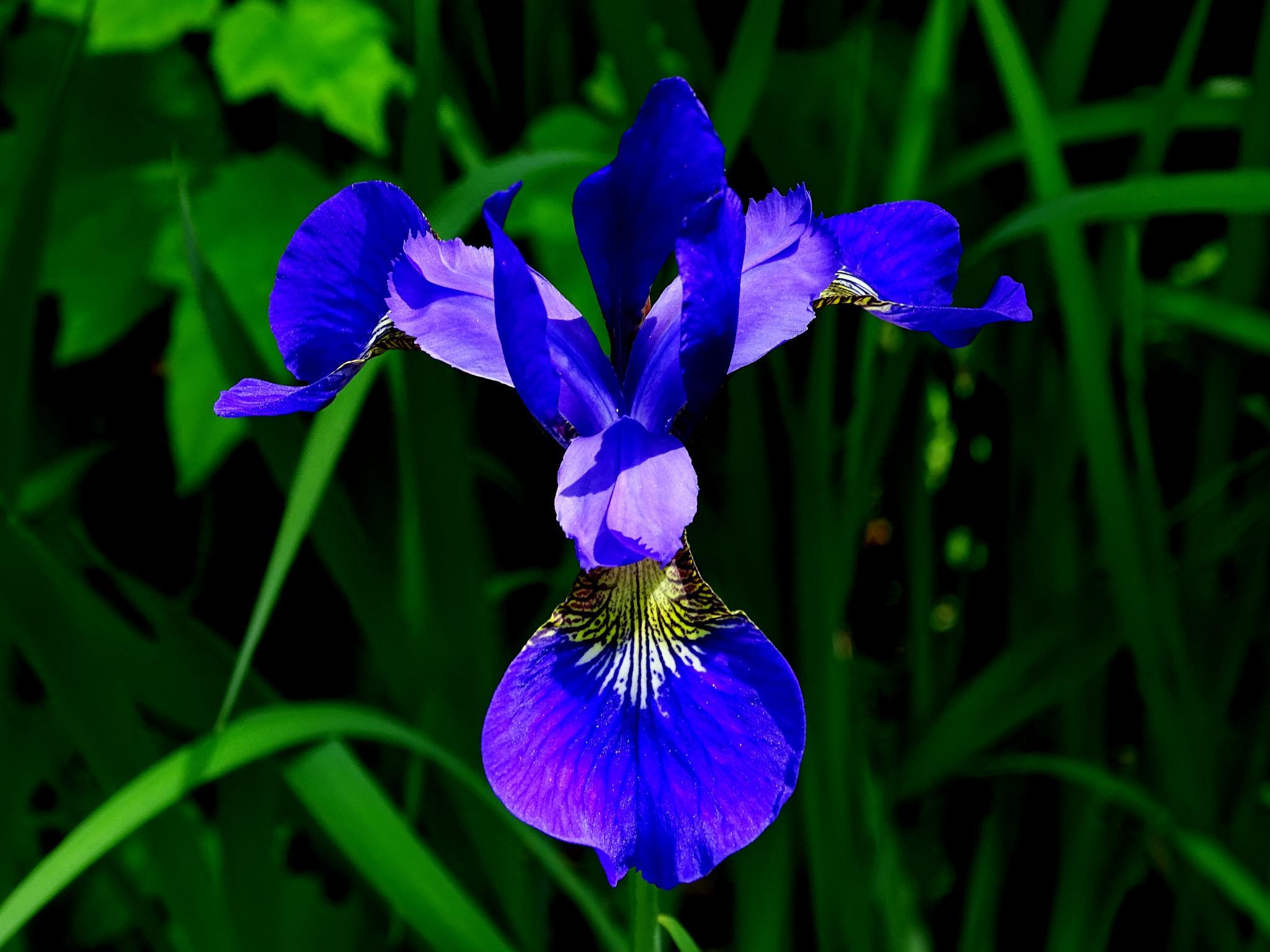 Iris  by paulette.king