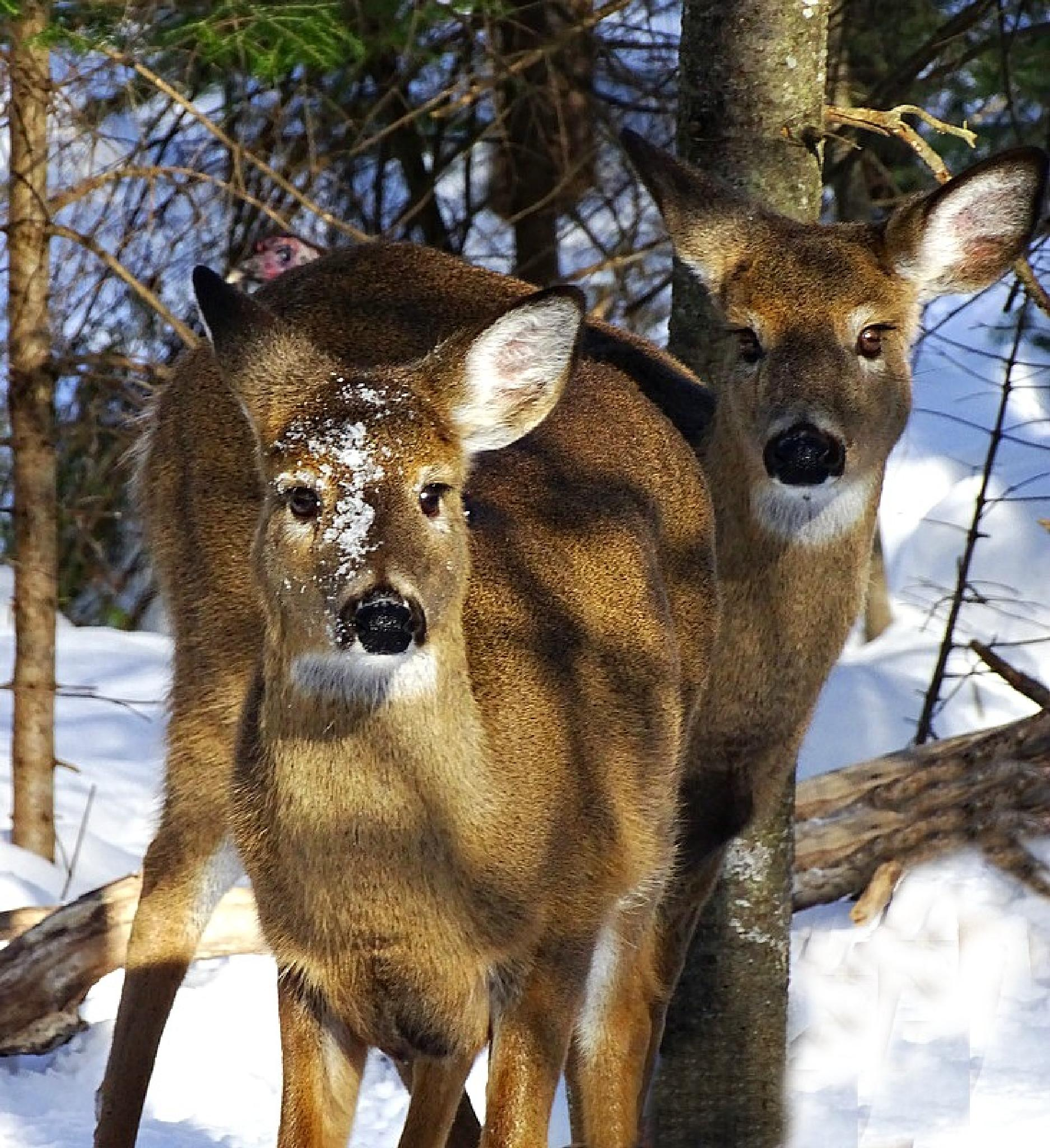 White Tailed Deer by paulette.king