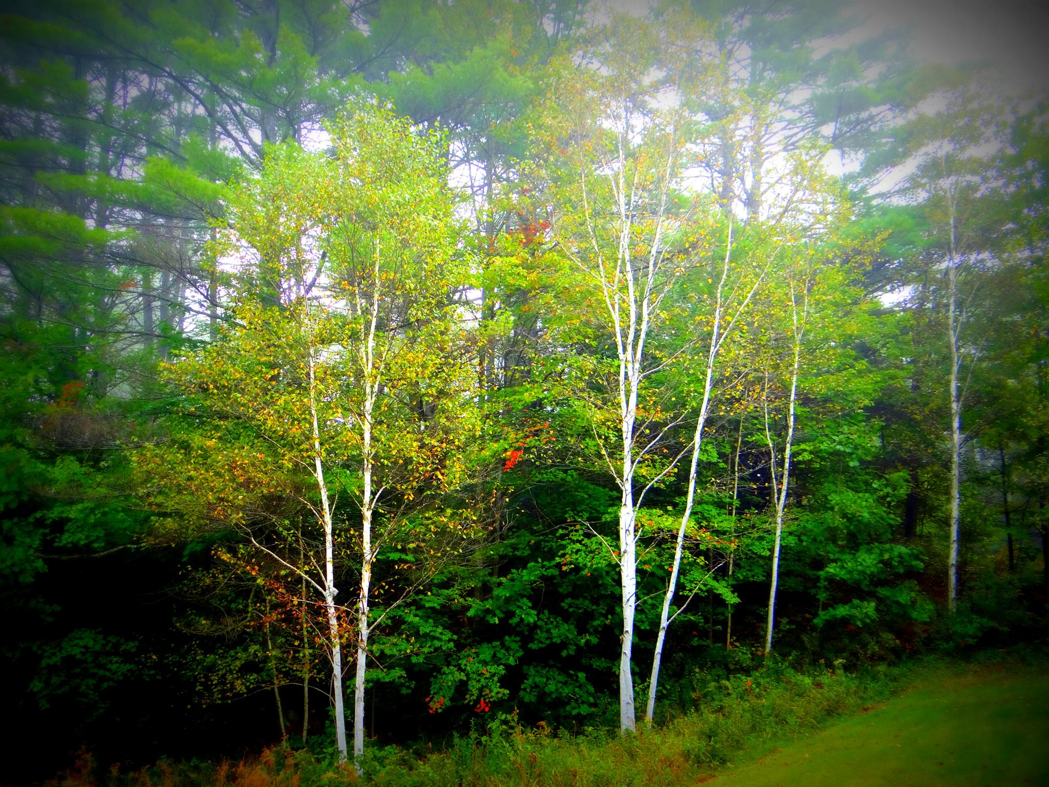 Birches by paulette.king