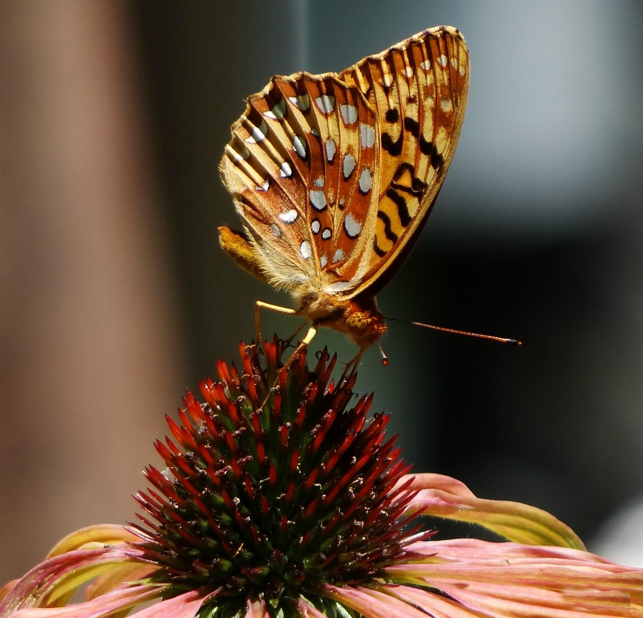 Great Fritilliary Butterfly by paulette.king