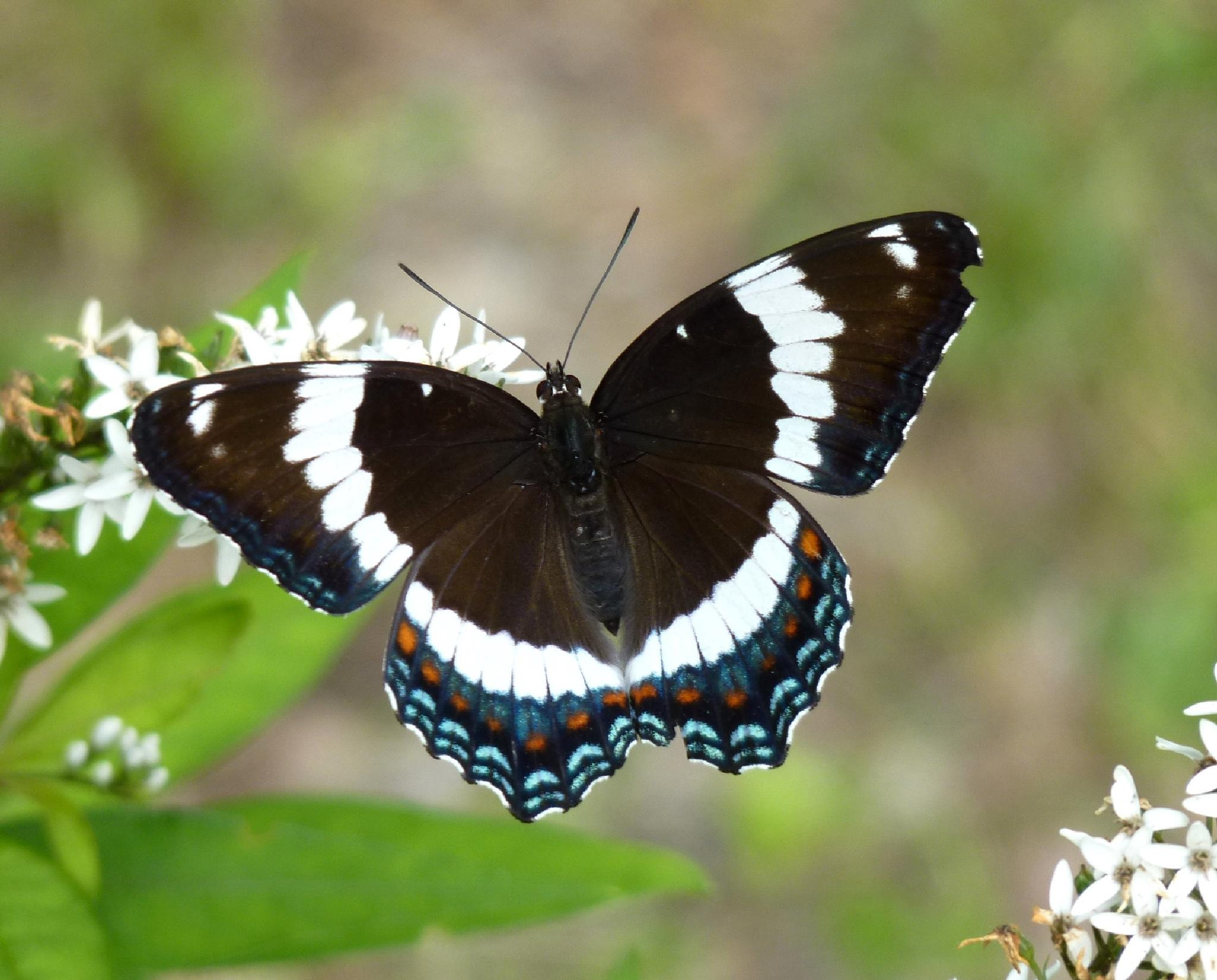 White Admiral Butterfly by paulette.king