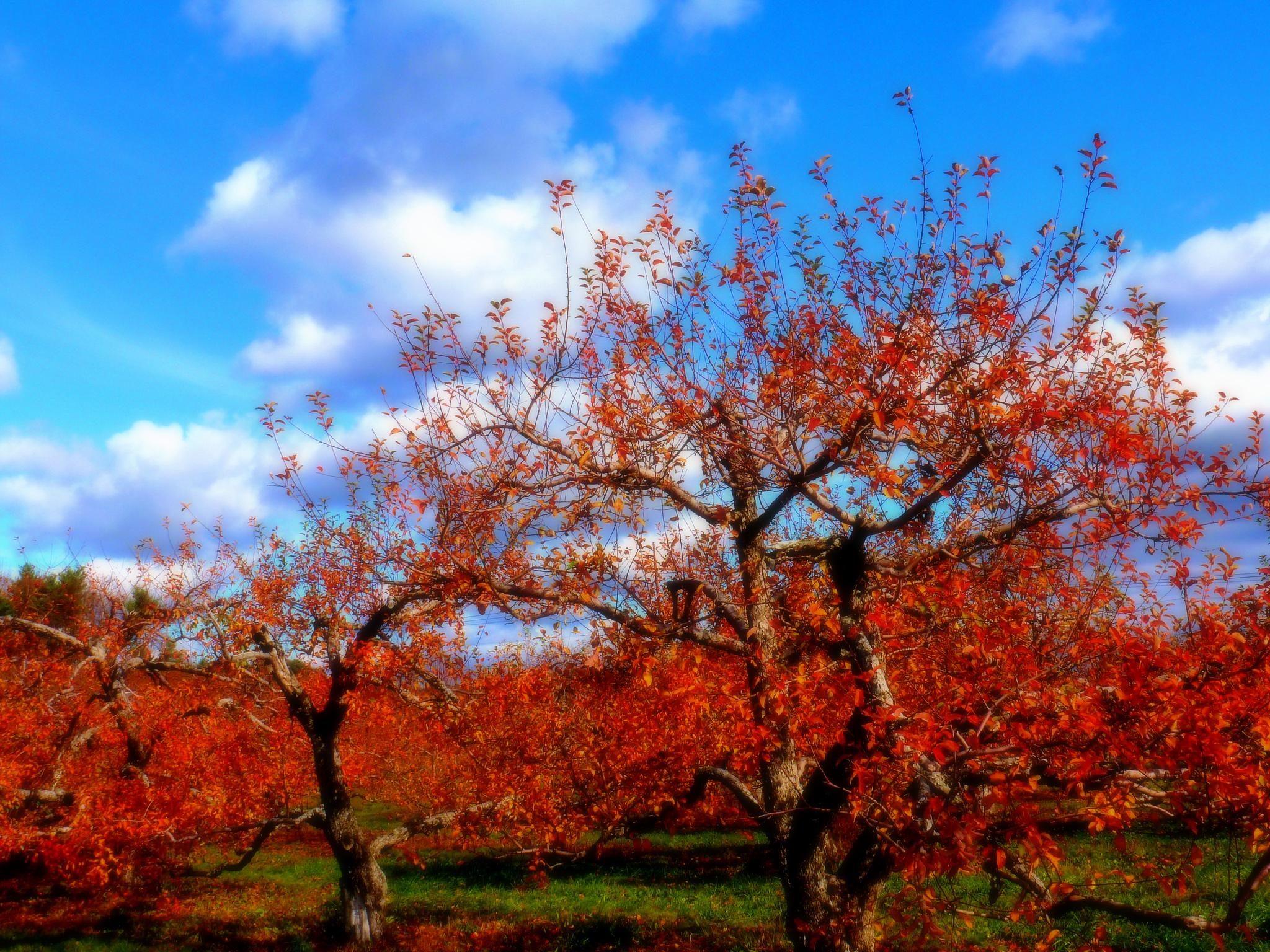 Autumn Orchard by paulette.king