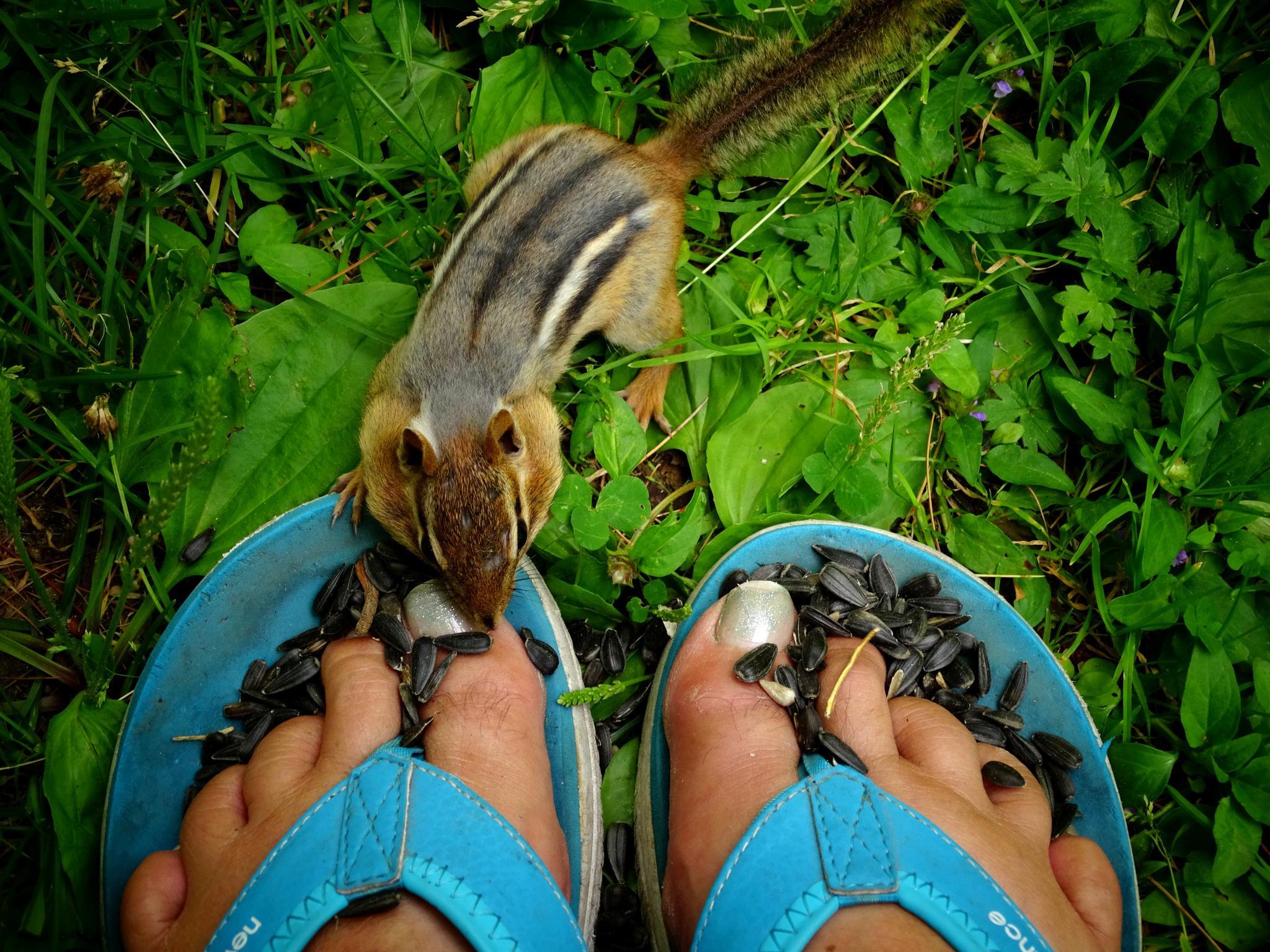 Photo in Nature #chip #chipmunks #animals #wild animals #cute #nature #critters