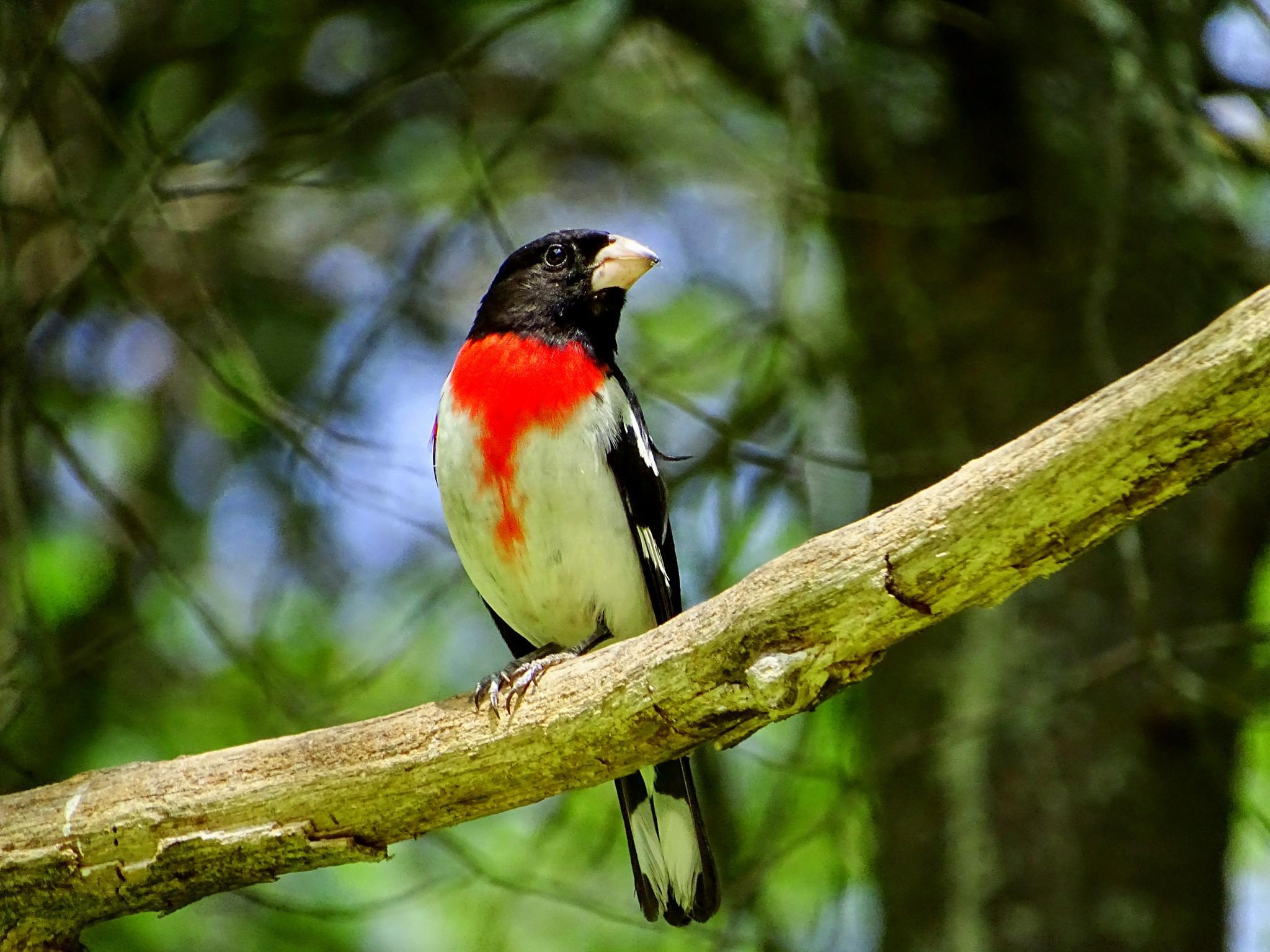 Photo in Nature #rose breasted grosbeaks #grosbeaks #birds #wild birds #wildlife in the yard