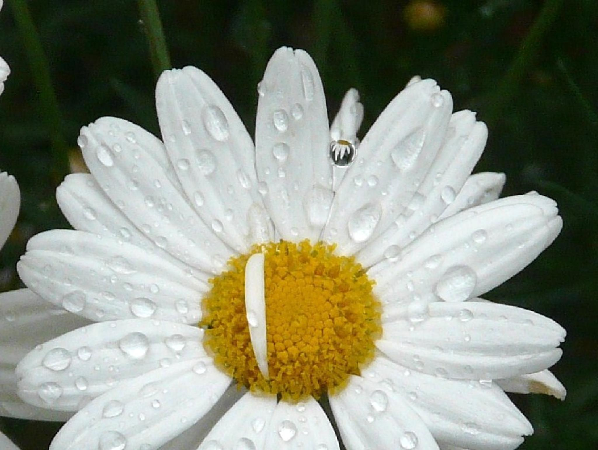 Photo in Random #daisies #flowers #drops #reflection