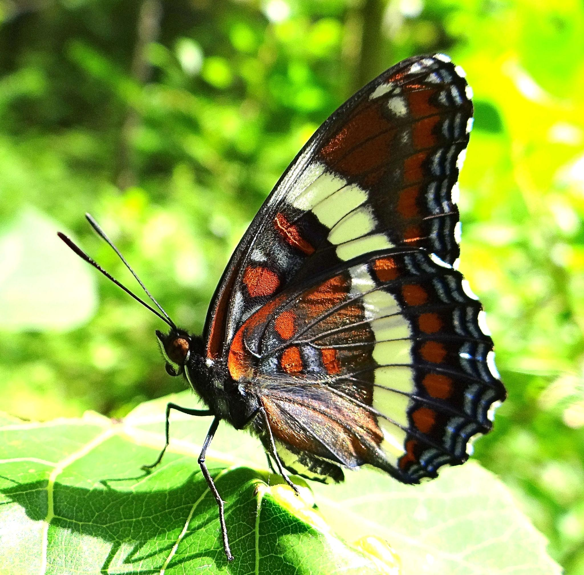 White Admiral Butterfly in the sun by paulette.king