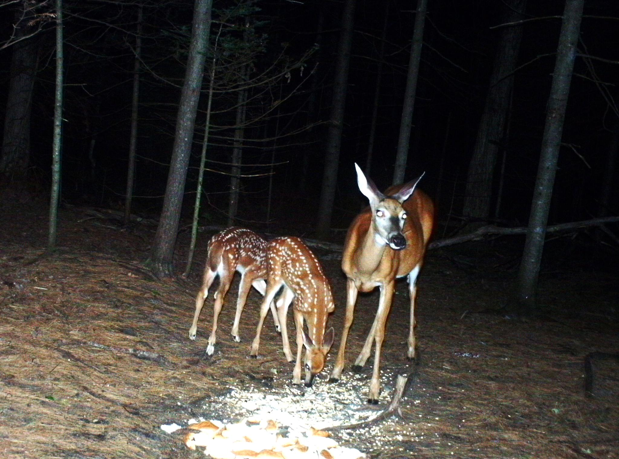 Mama and her fawns by paulette.king