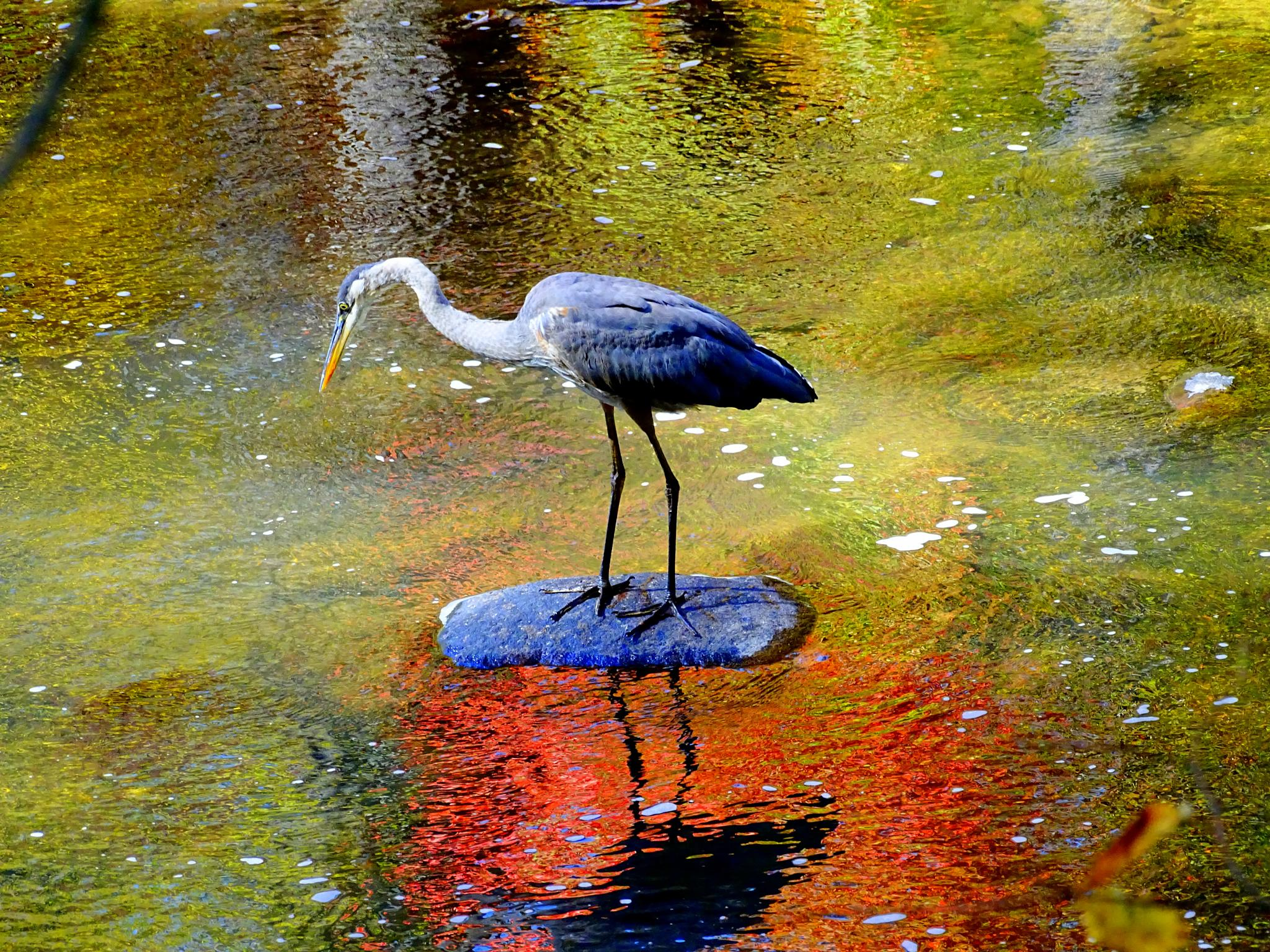 Heron and fall reflections by paulette.king