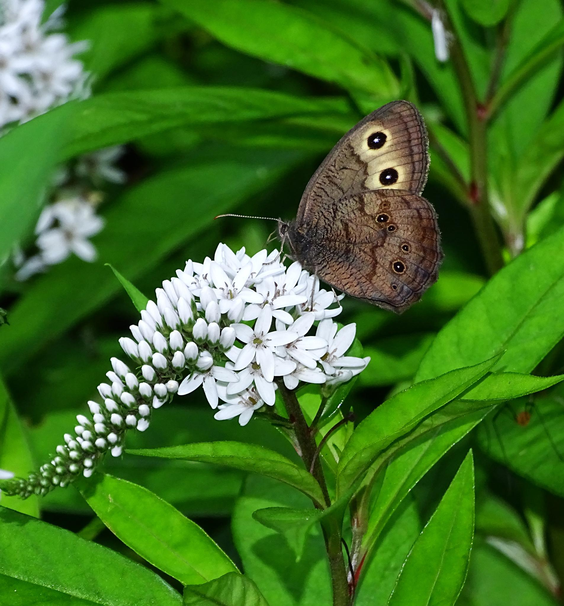 Butterfly on Gooseneck Loosestrife by paulette.king