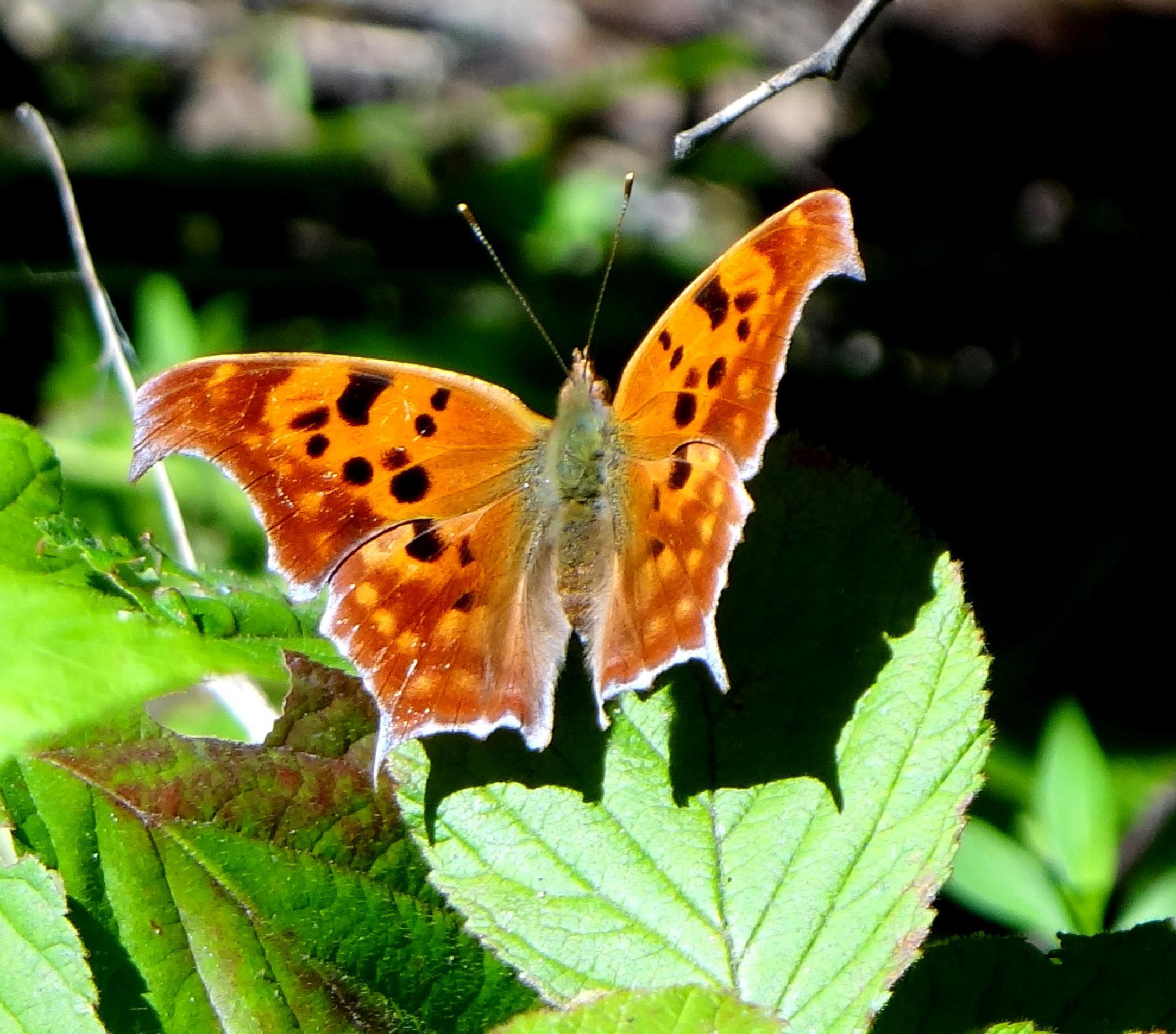 Eastern Comma Butterfly by paulette.king
