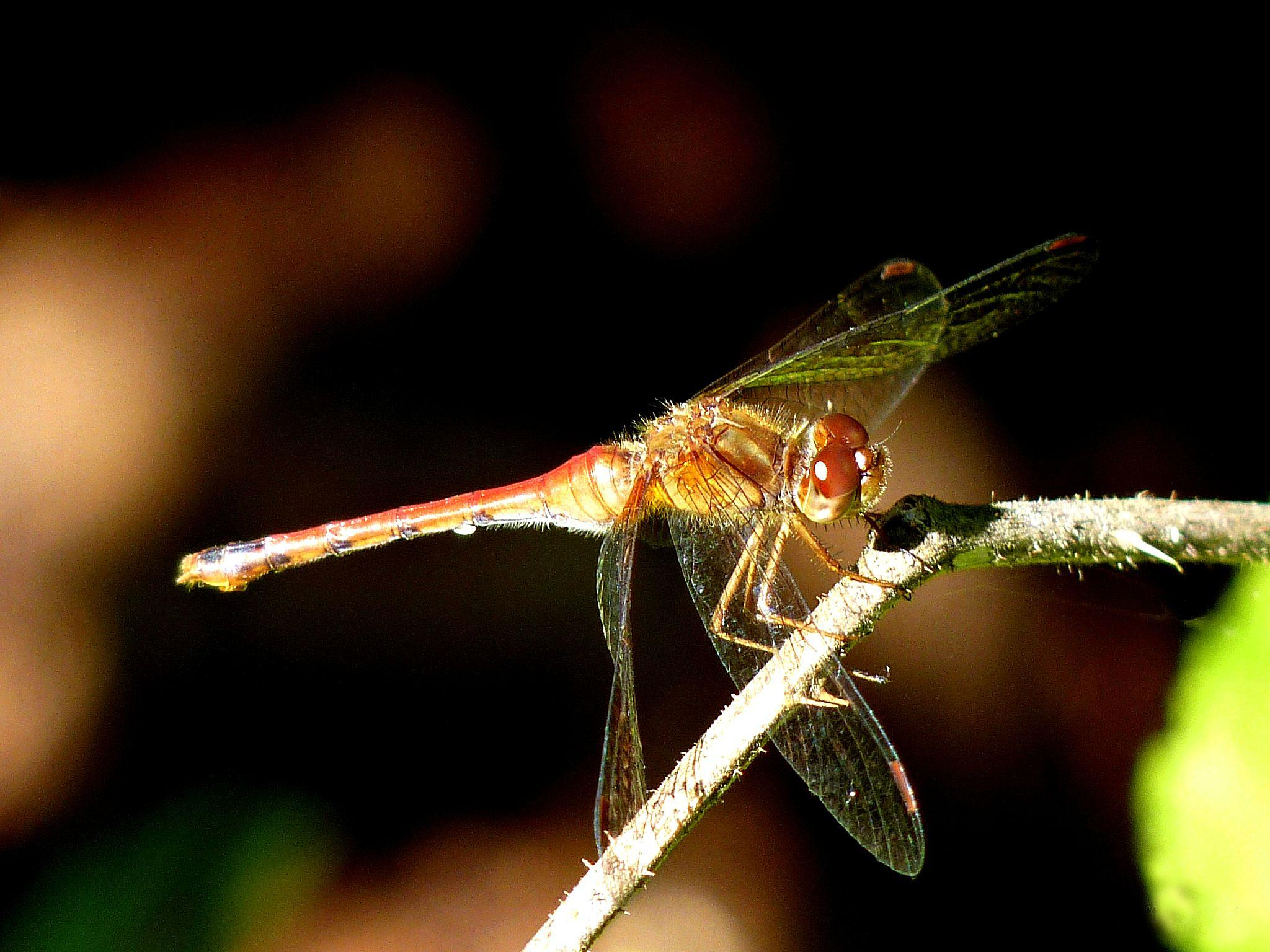 Dragonfly in the sun by paulette.king