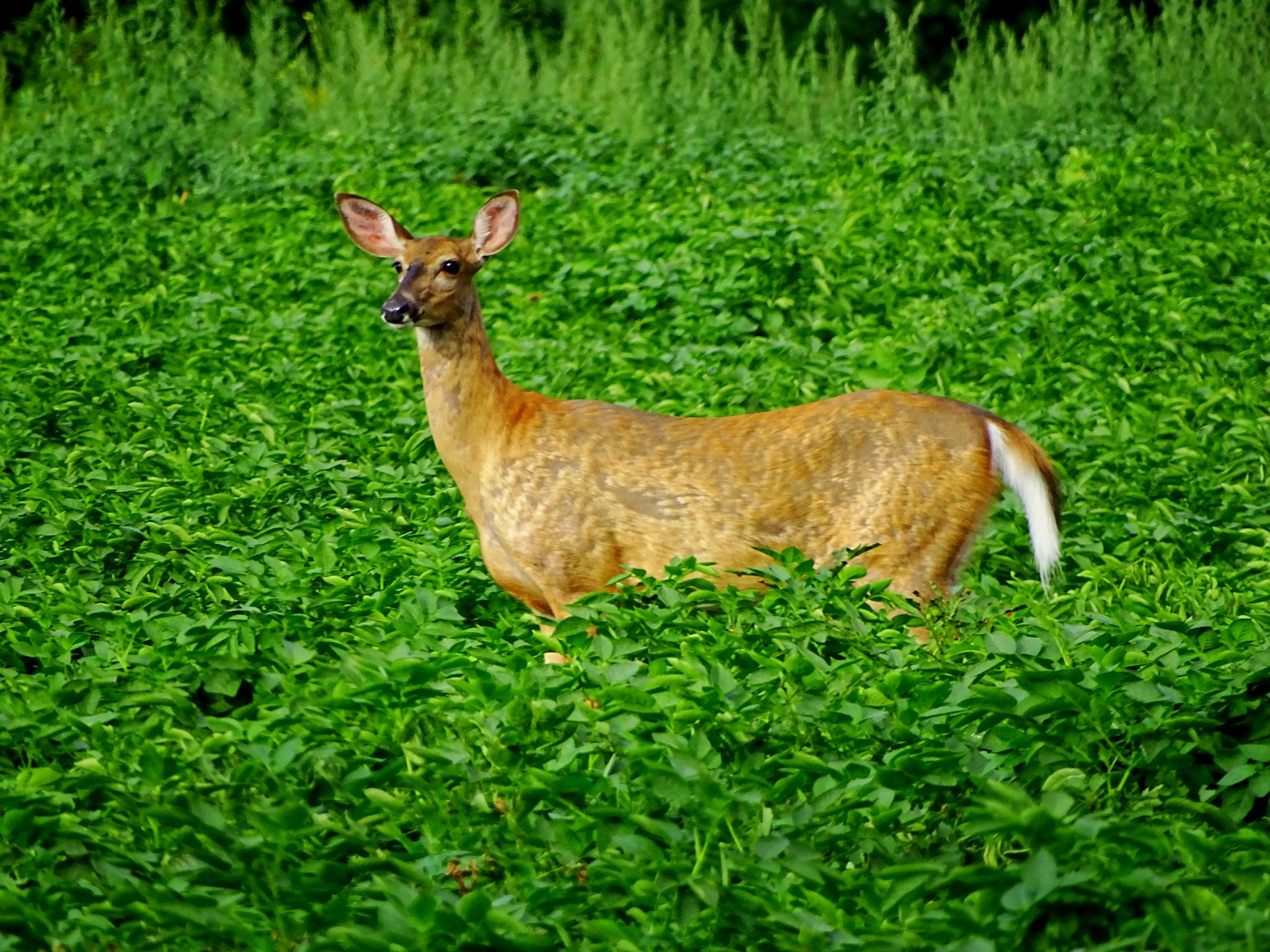 Doe in the field by paulette.king