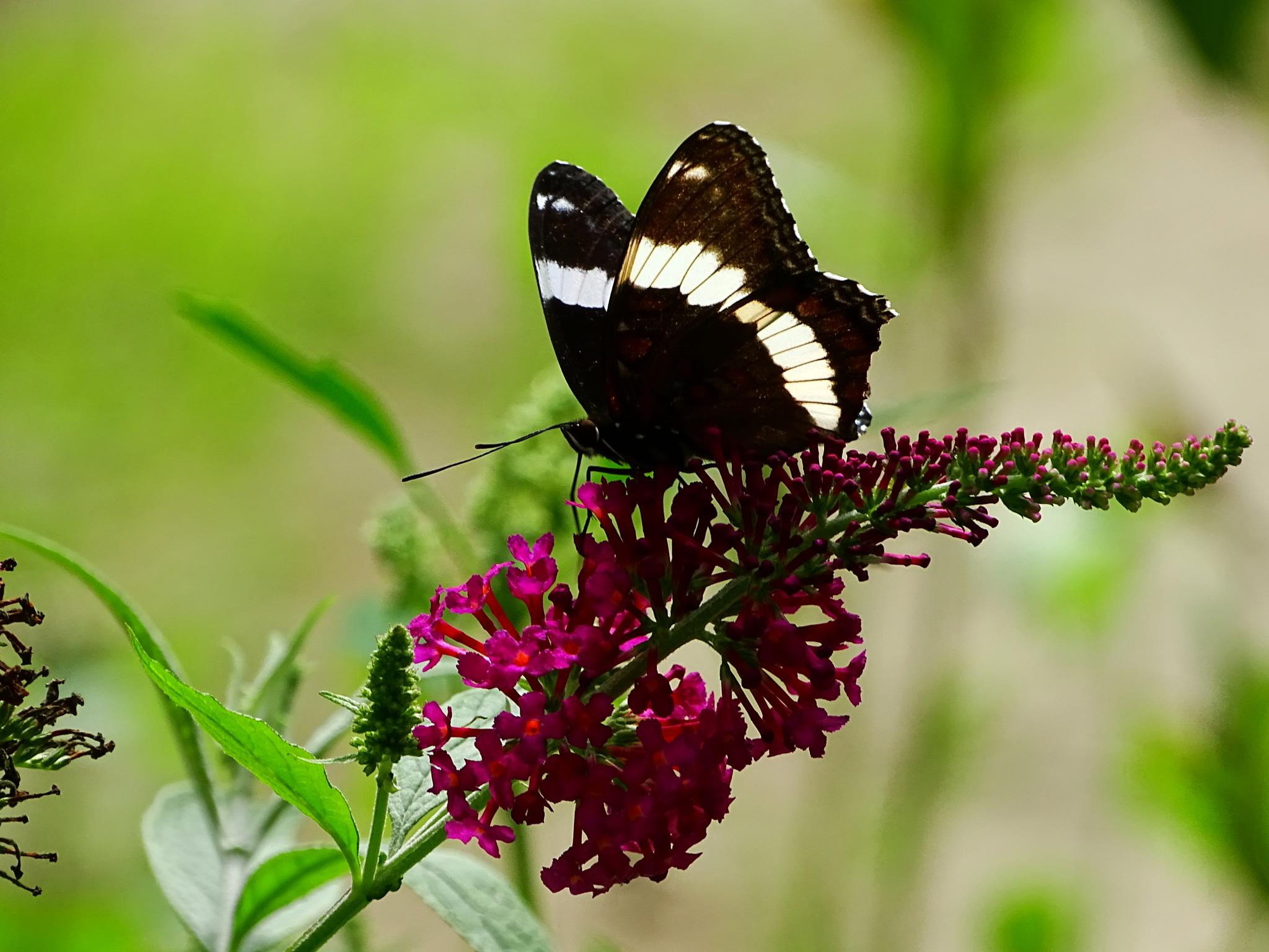 White Admiral Butterfly on Butterfly Flower by paulette.king