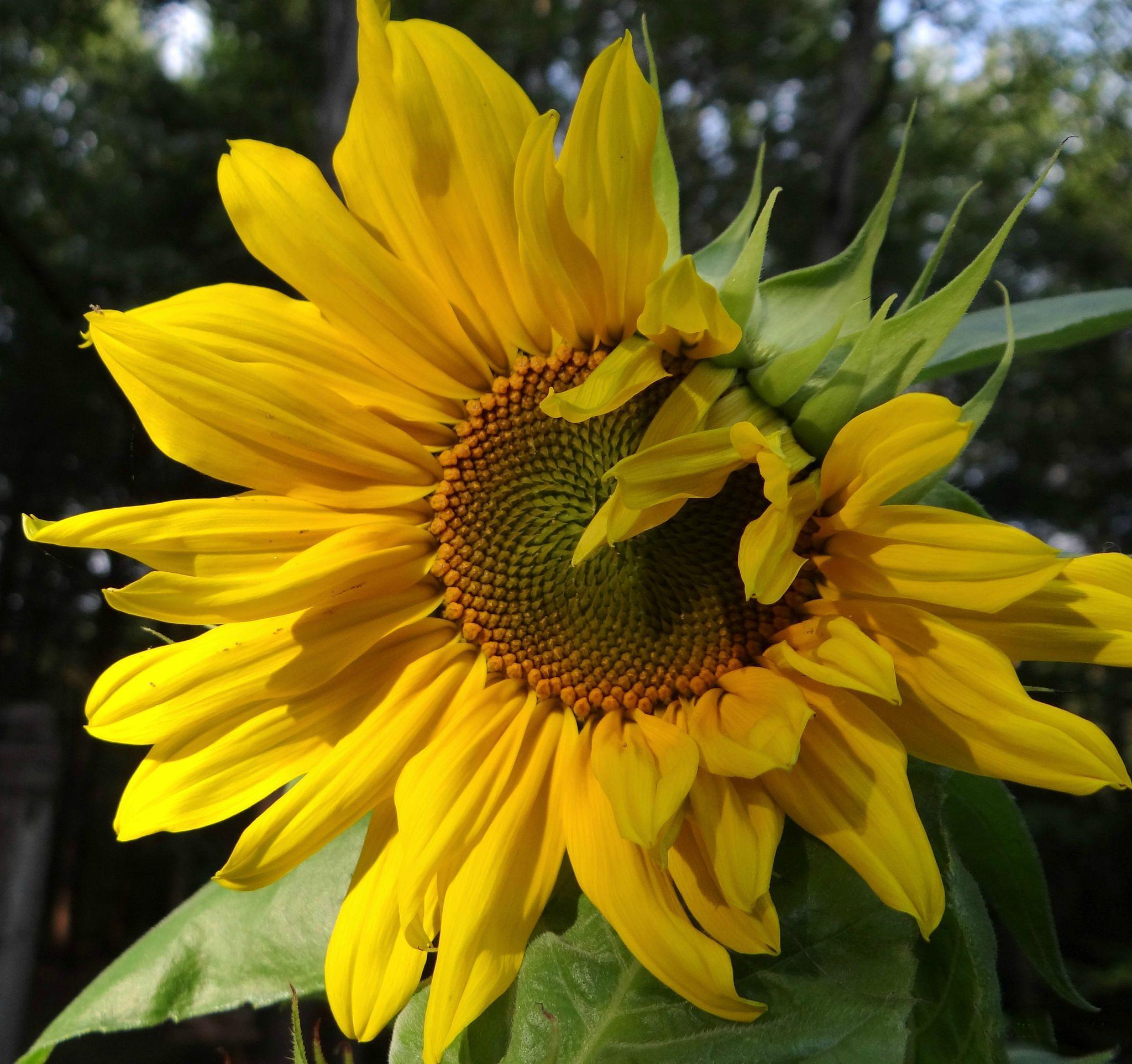 Sunny Sunflower by paulette.king