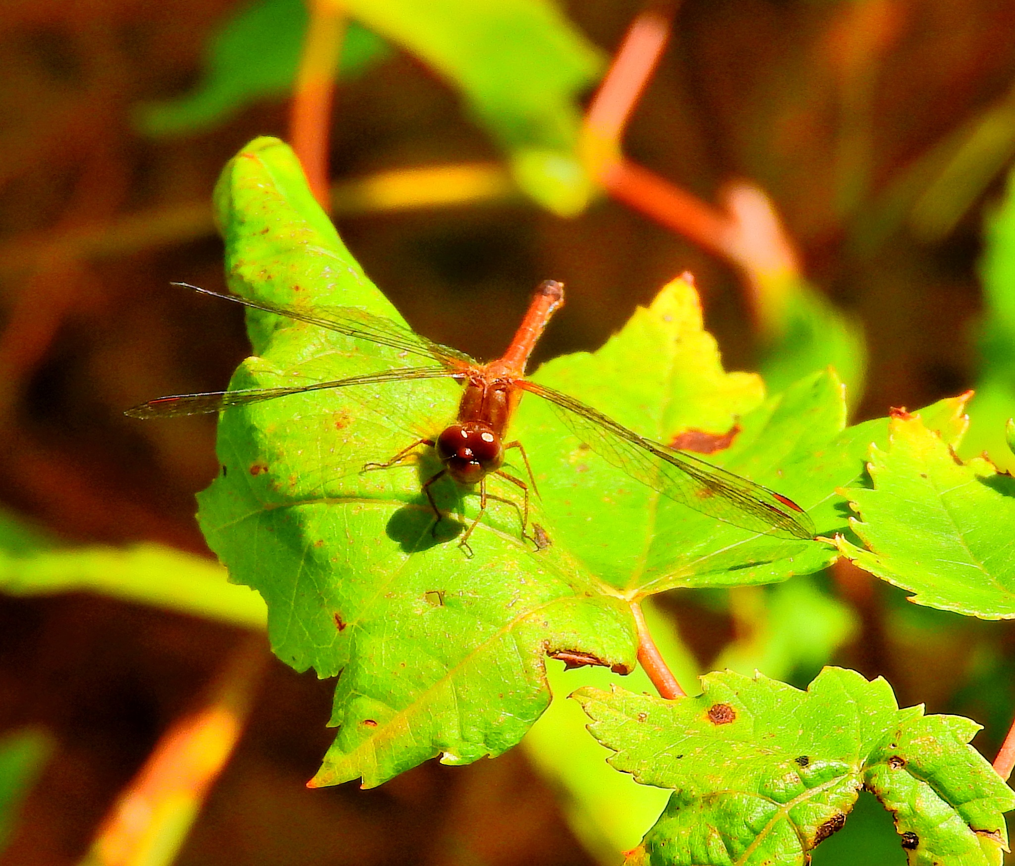 Ruby Meadowhawk Dragonfly by paulette.king