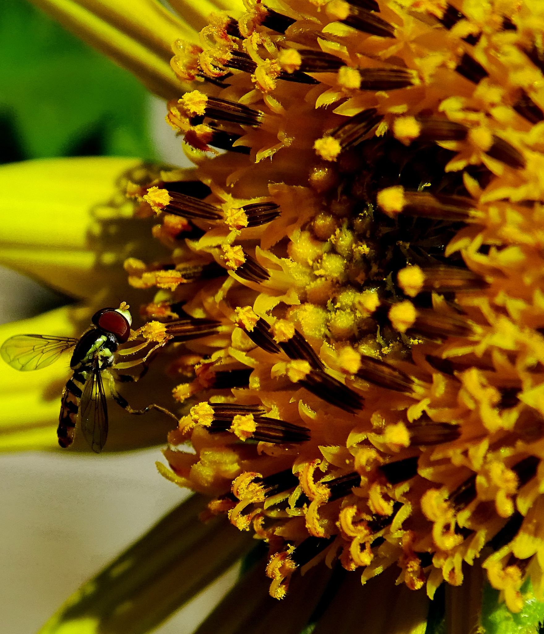Hoverfly and Sunflower by paulette.king