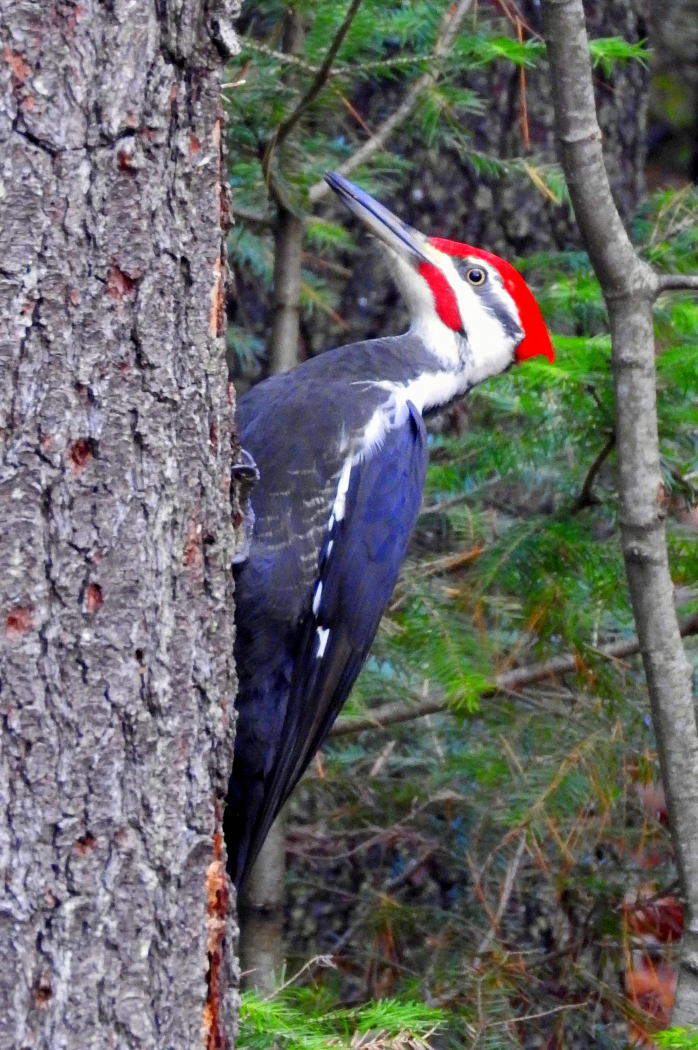 Pileated Woodpecker by paulette.king