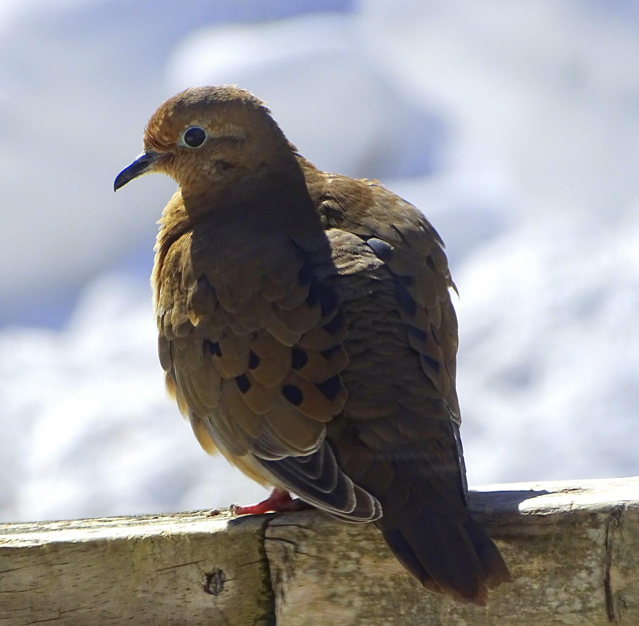 Mourning Dove by paulette.king